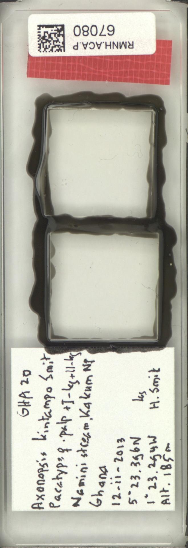 RMNH.ACA.P.67080 | Axonopsis kintampo Smit, 2016