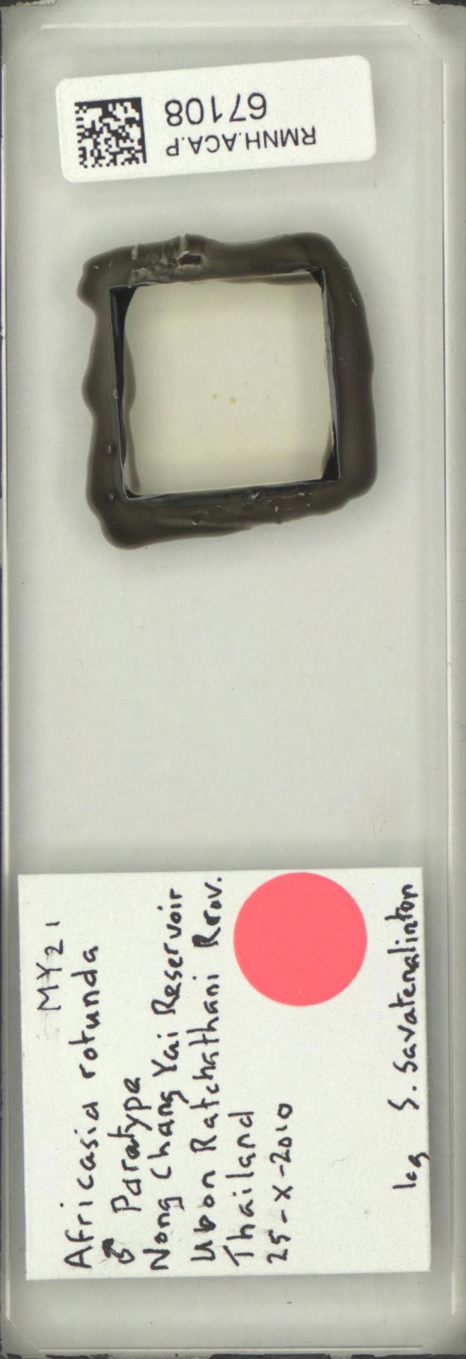 RMNH.ACA.P.67108 | Africasia rotunda Savatenalinton & Smit, 2017