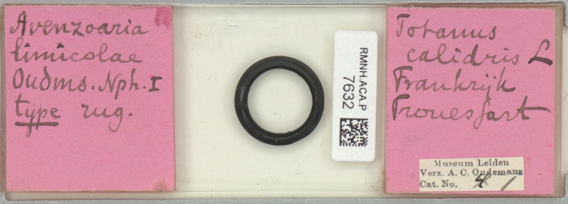 RMNH.ACA.P.7632   Avenzoaria limicolae Oudemans, 1904