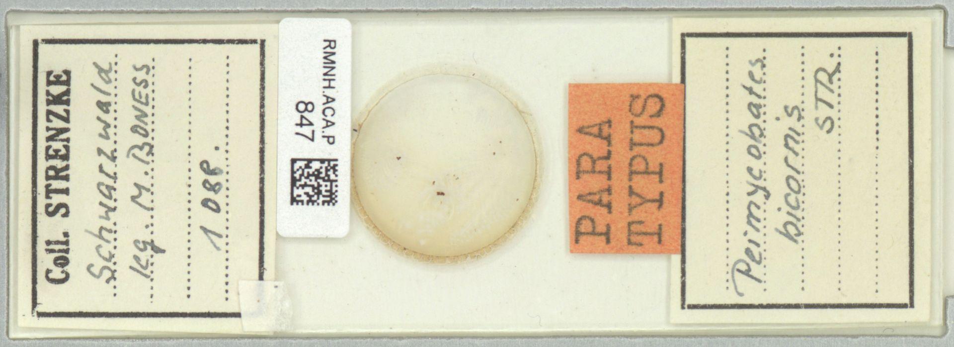 RMNH.ACA.P.847 | Permycobates bicornis Strenzke