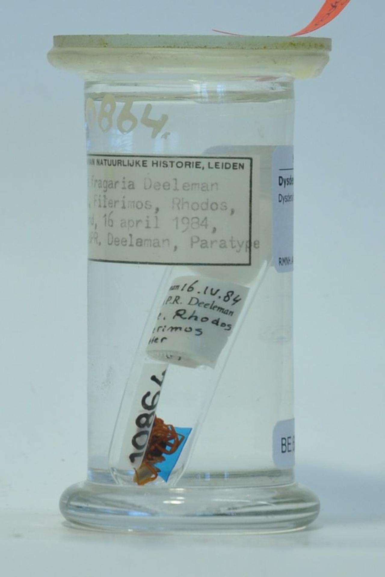 RMNH.ARA.10864 | Dysdera fragaria Deeleman