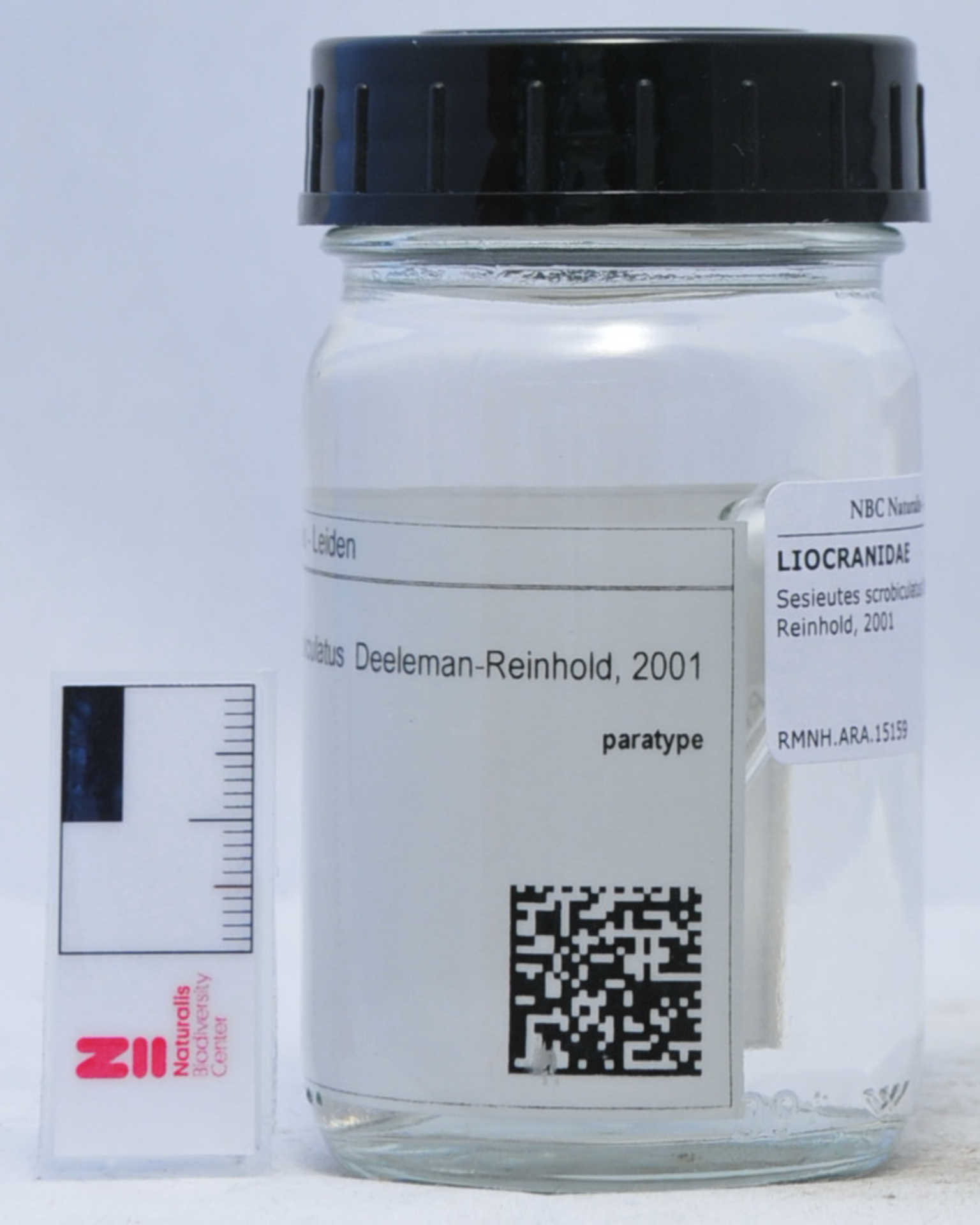 RMNH.ARA.15159 | Sesieutes scrobiculatus Deeleman-Reinhold, 2001