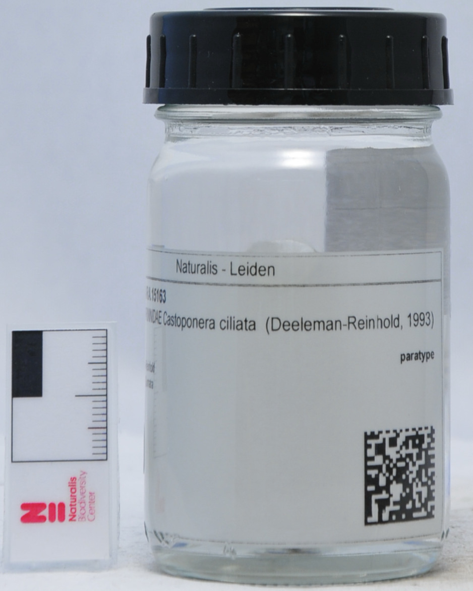 RMNH.ARA.15163 | Castoponera ciliata (Deeleman-Reinhold, 1993)