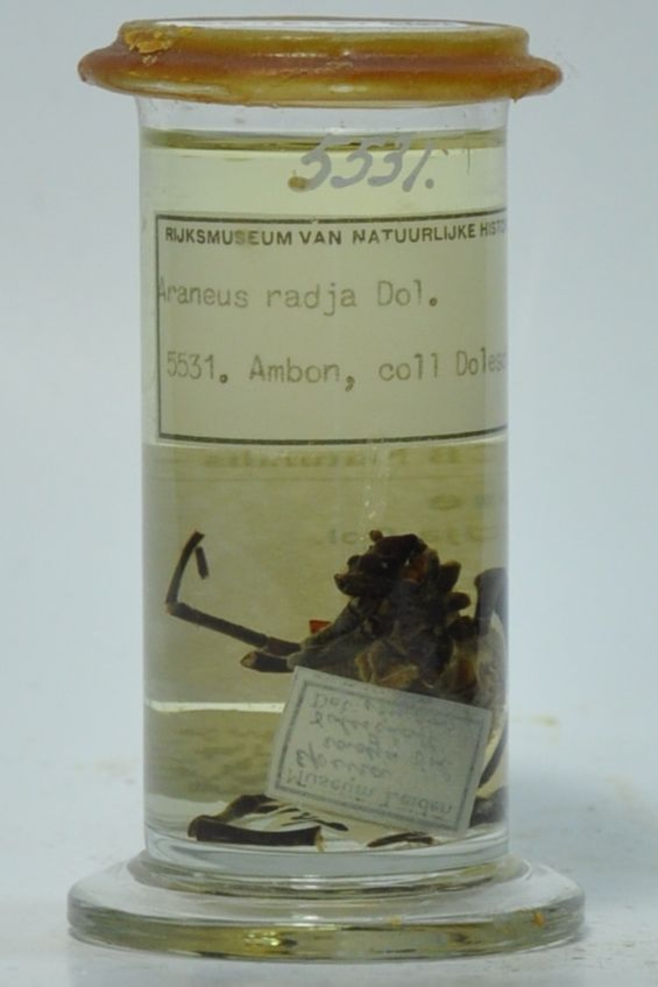 RMNH.ARA.5531   Araneus radja (Doleschall, 1857)