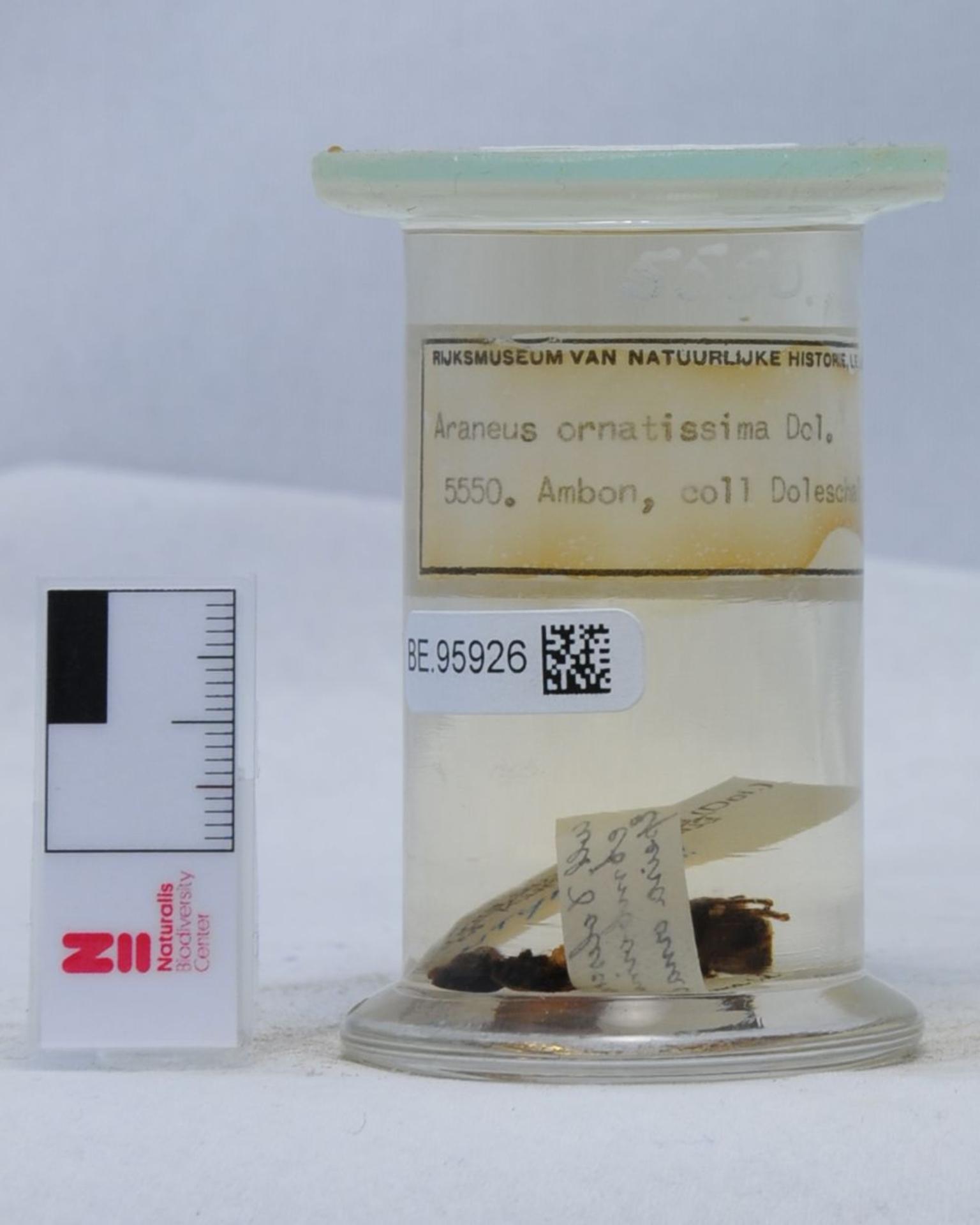 RMNH.ARA.5550 | Araneus ornatissima (Doleschall, 1859)