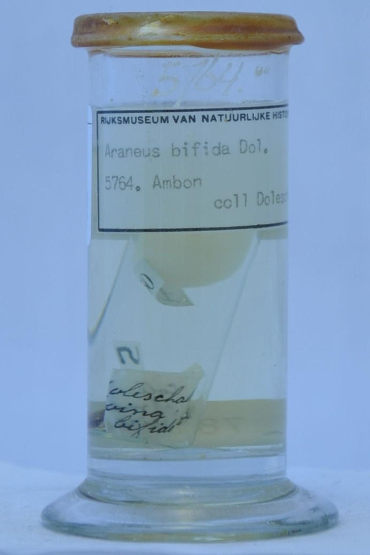 RMNH.ARA.5764 | Araneus bifida (Doleschall, 1859)