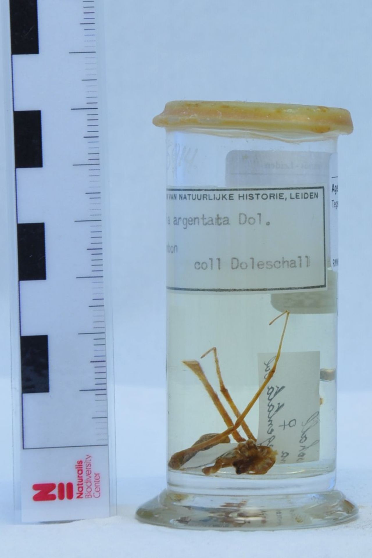 RMNH.ARA.5914 | Tegenaria argentata Doleschall, 1857