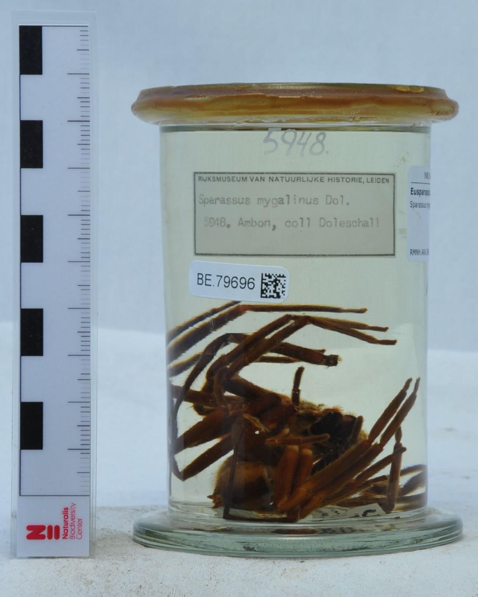 RMNH.ARA.5948   Sparassus mygalinus (Doleschall, 1857)