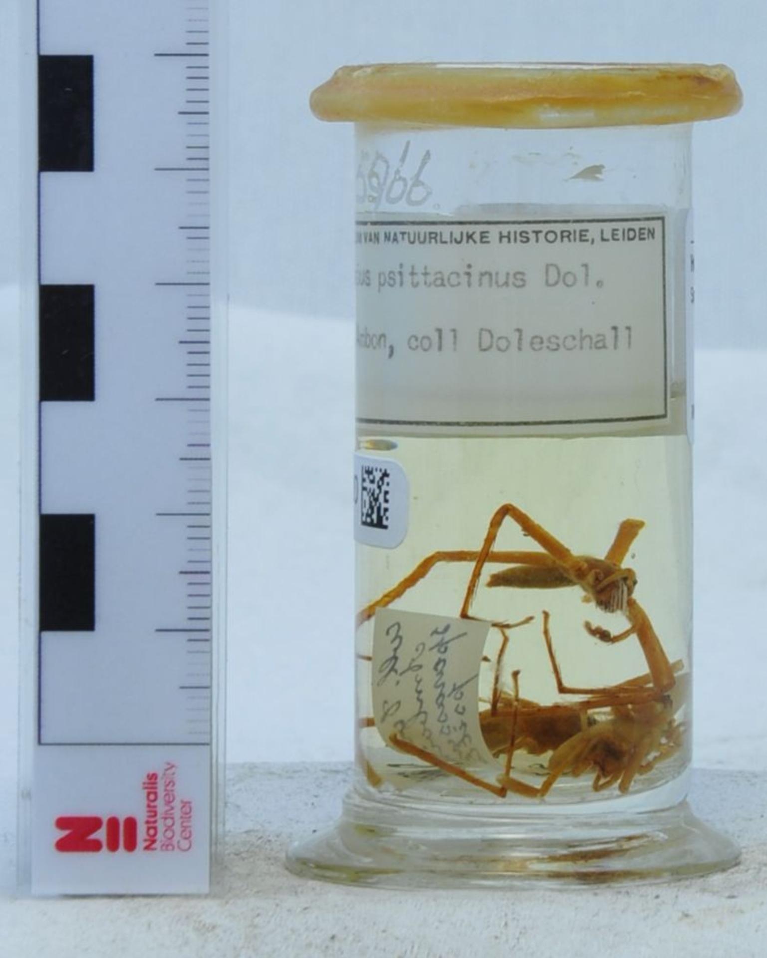 RMNH.ARA.5966   Sparassus psittacinus Doleschall, 1857