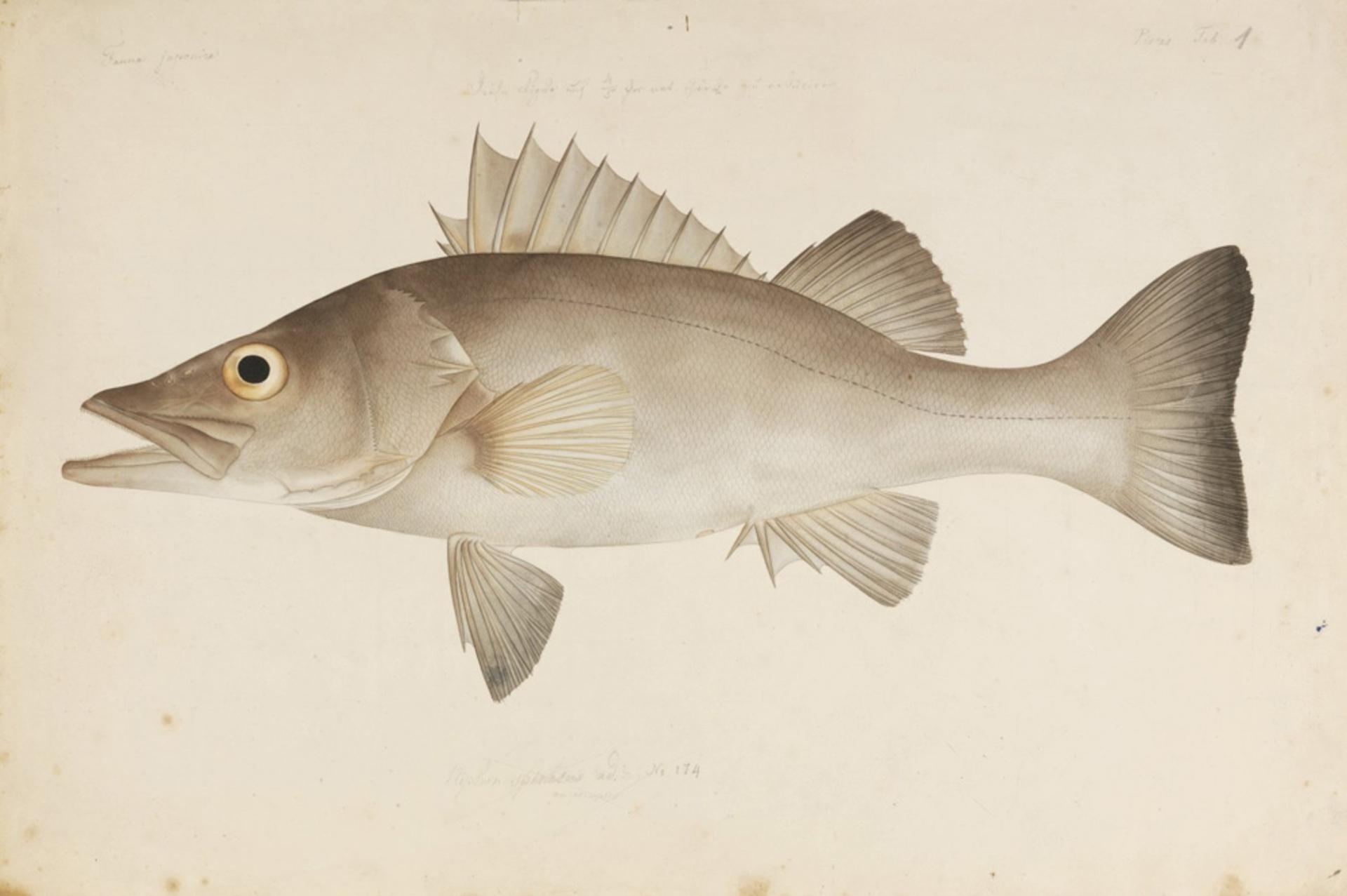 RMNH.ART.1 | Niphon spinosus Cuvier, 1828