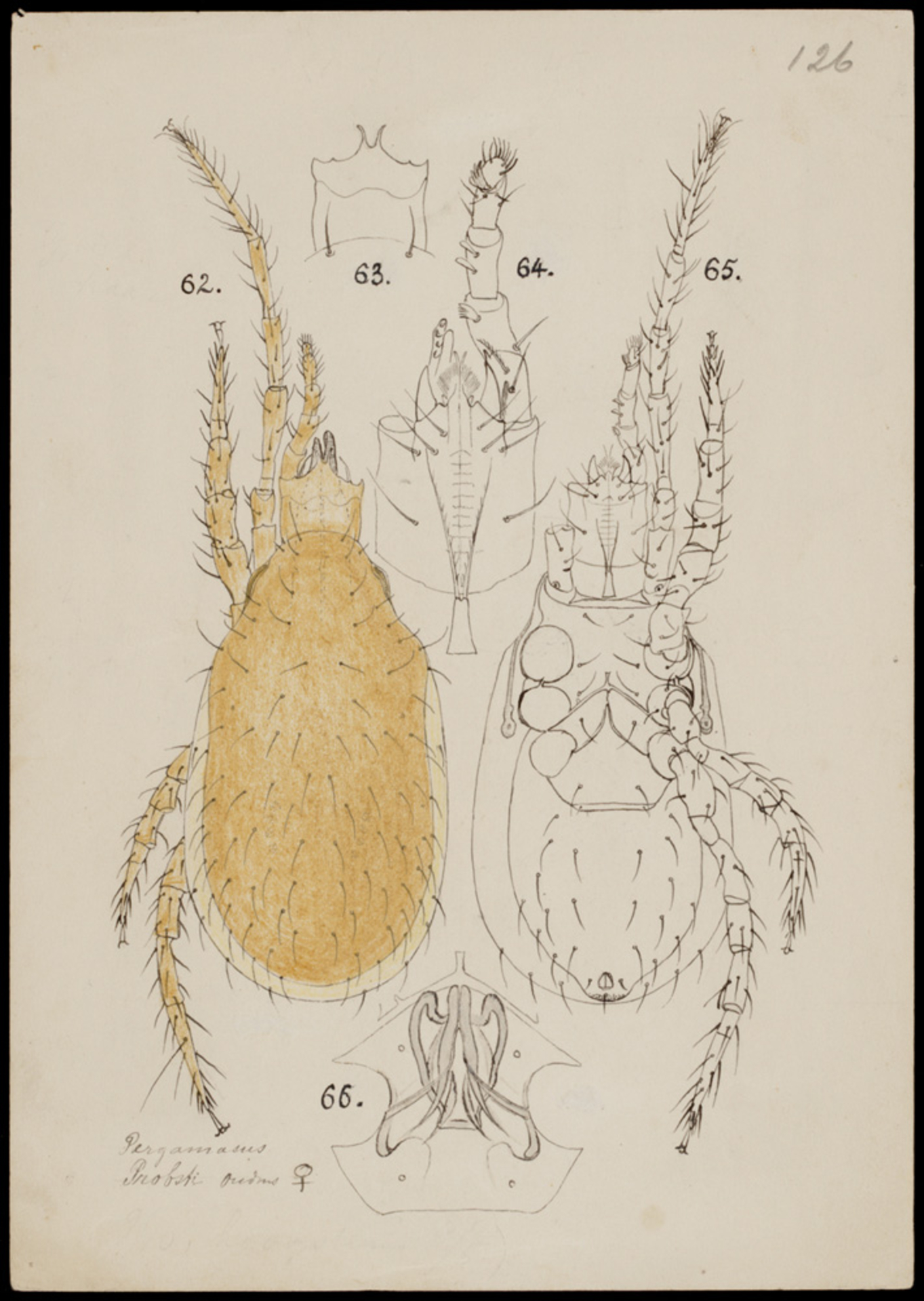 RMNH.ART.1002   Pergamasus probsti (Oudemans)