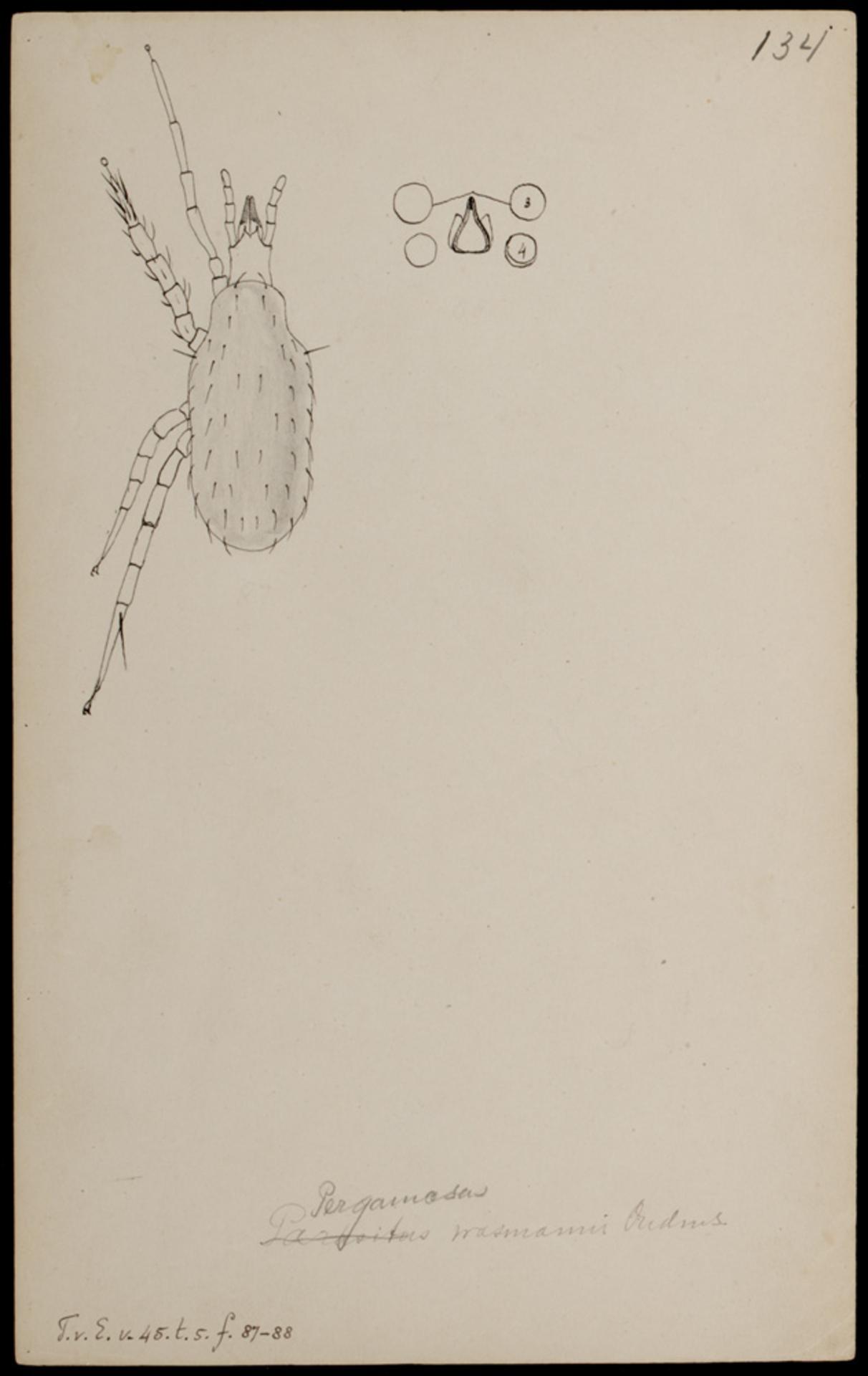 RMNH.ART.1005 | Pergamasus (spec.)