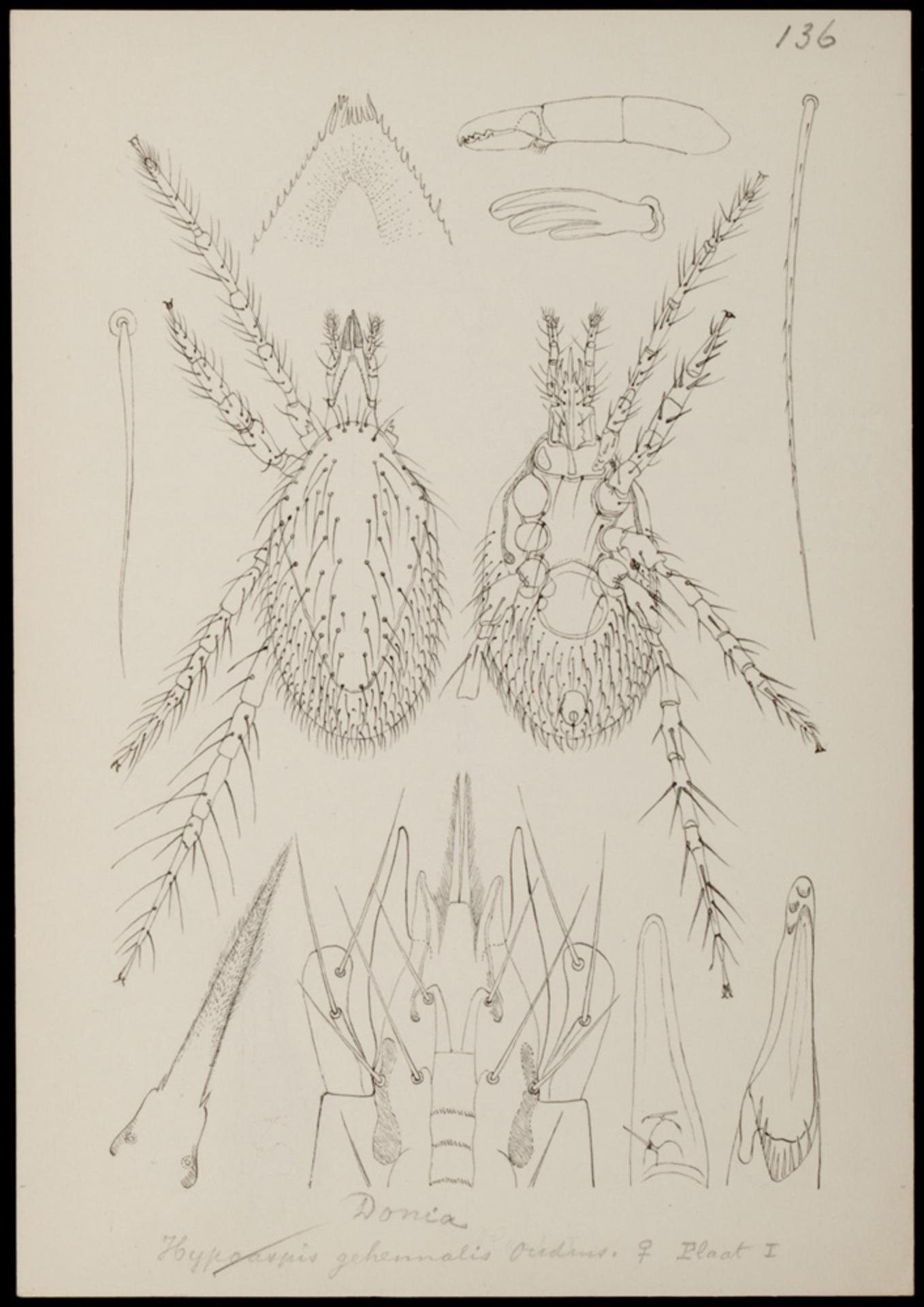 RMNH.ART.1006 | Hypoaspis gehennalis (Oudemans)