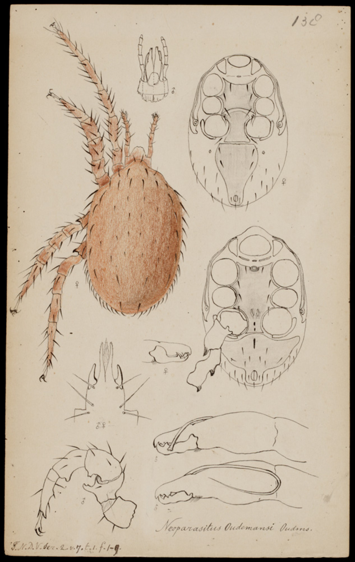 RMNH.ART.1008 | Neoparasitus oudemansi (Oudemans)