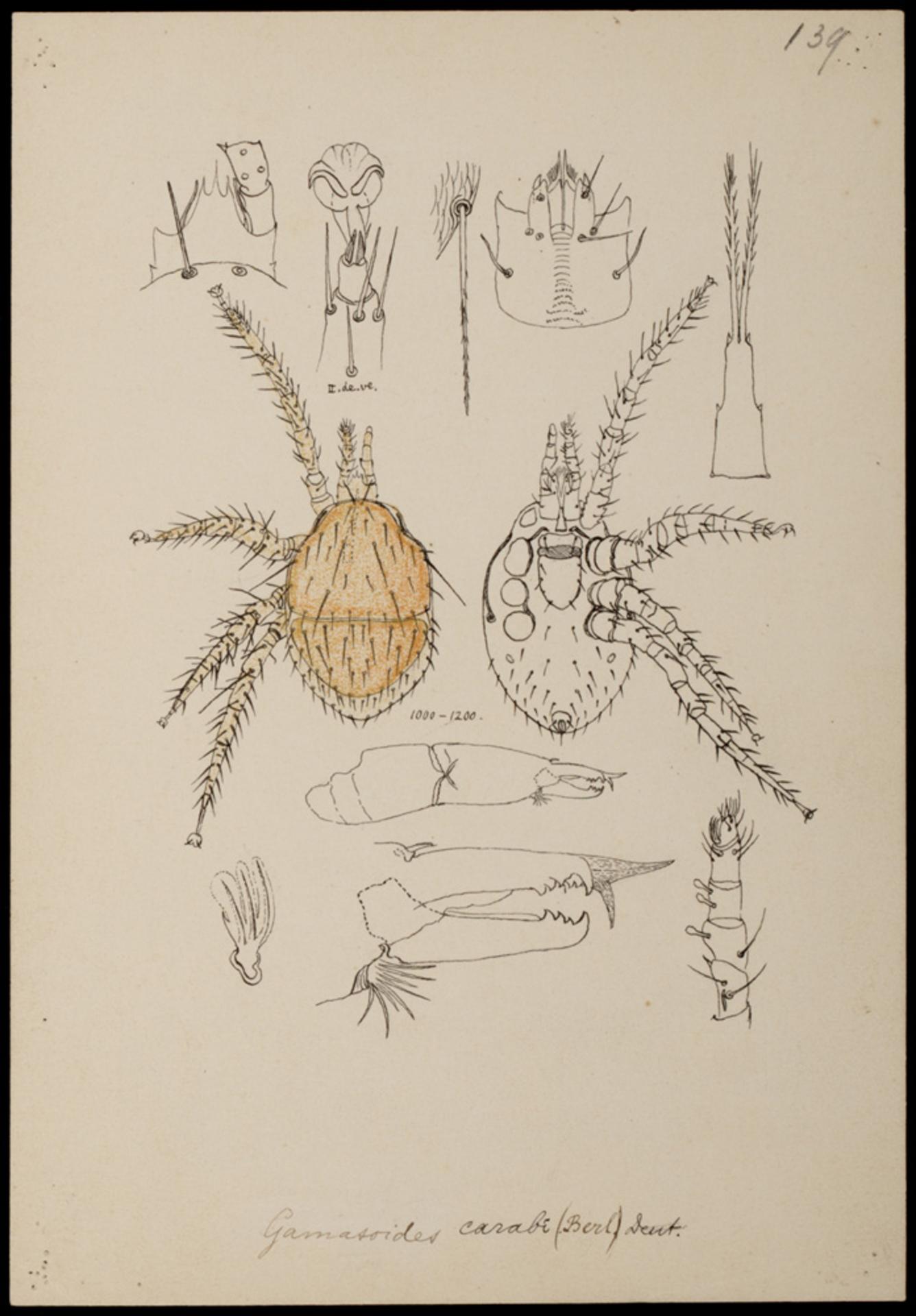 RMNH.ART.1009 | Gamasoides carabi (Berlese)