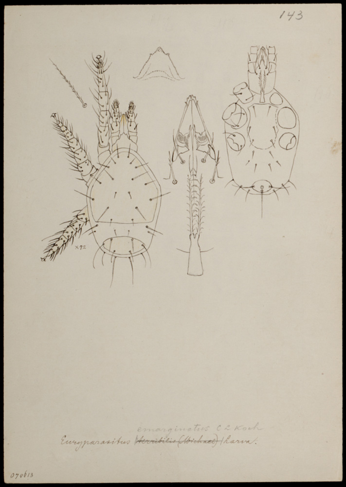 RMNH.ART.1011 | Euryparasitus emarginatus (C. L. Koch)