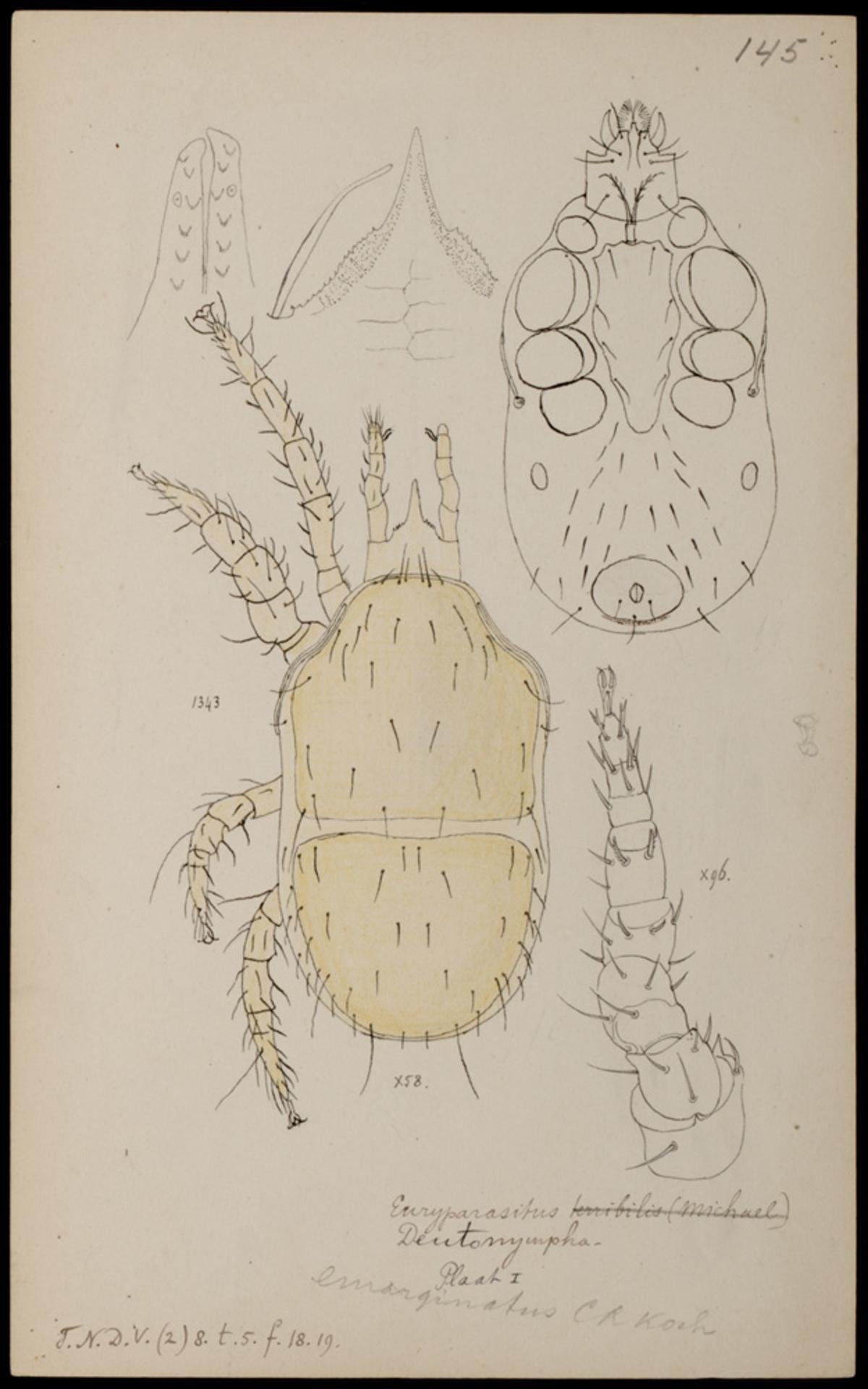 RMNH.ART.1013   Euryparasitus emarginatus (C. L. Koch)