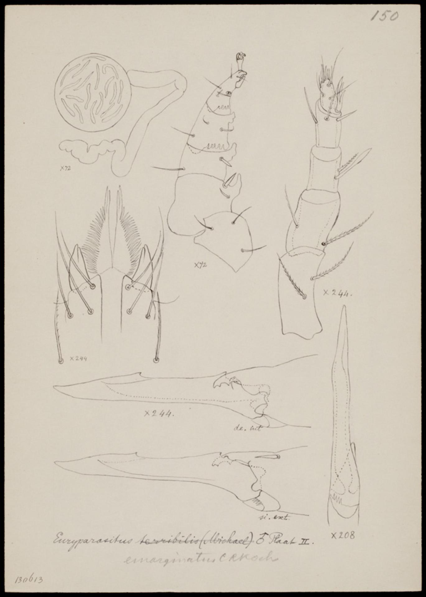 RMNH.ART.1018   Euryparasitus emarginatus (C. L. Koch)