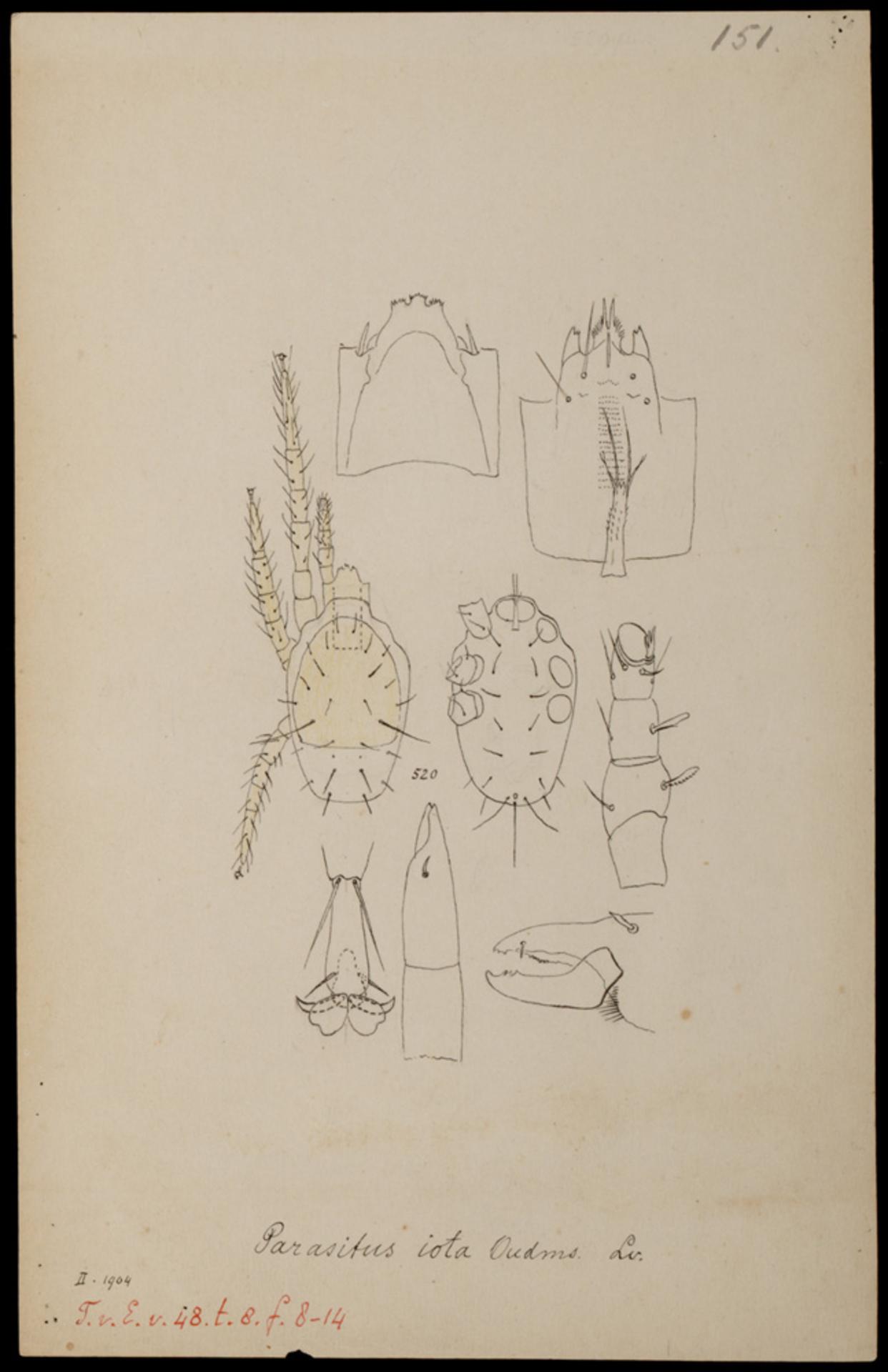 RMNH.ART.1019 | Parasitus iota (Oudemans)