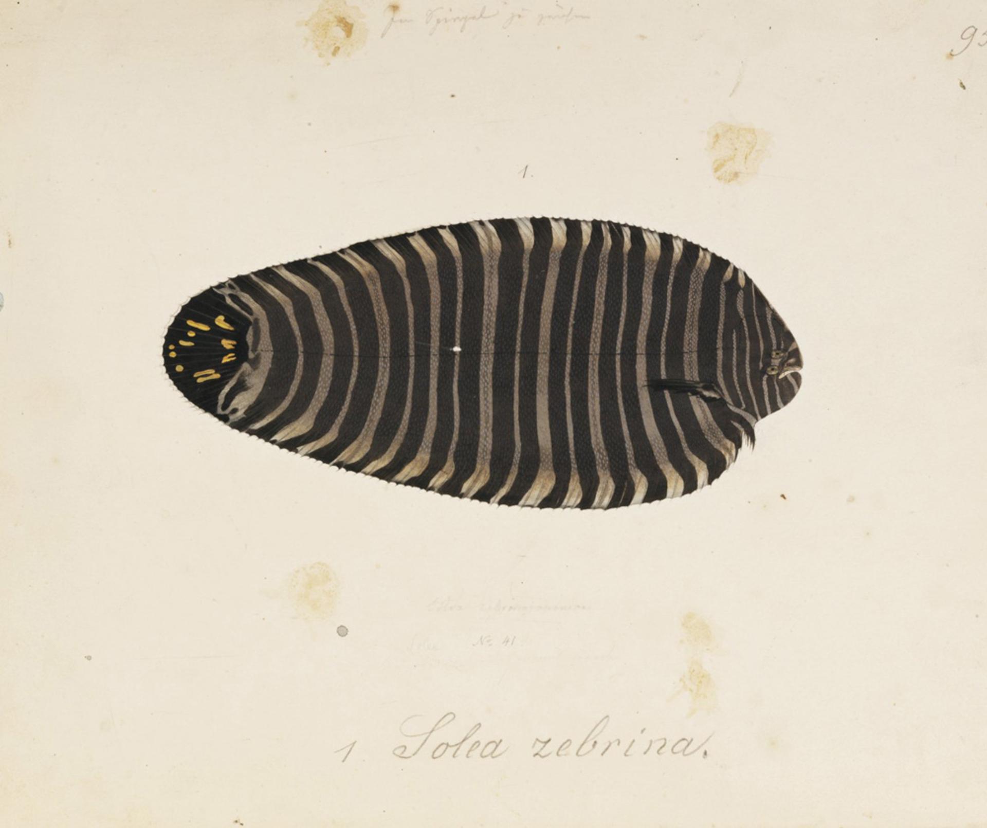 RMNH.ART.102 | Zebria zebra