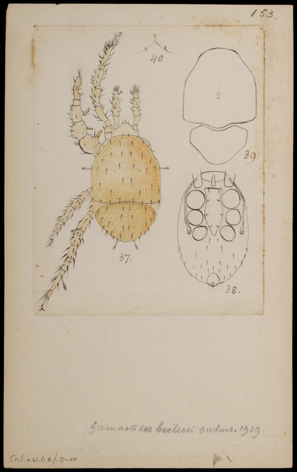 RMNH.ART.1021   Gamasoides berlesei (Oudmans)
