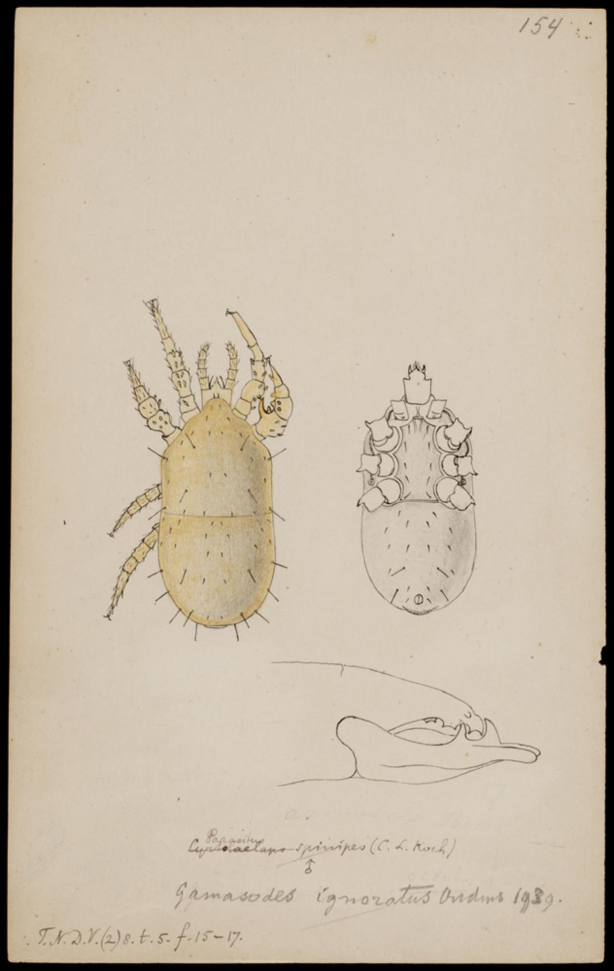 RMNH.ART.1022 | Gamasodes ignoratus (Oudmans)