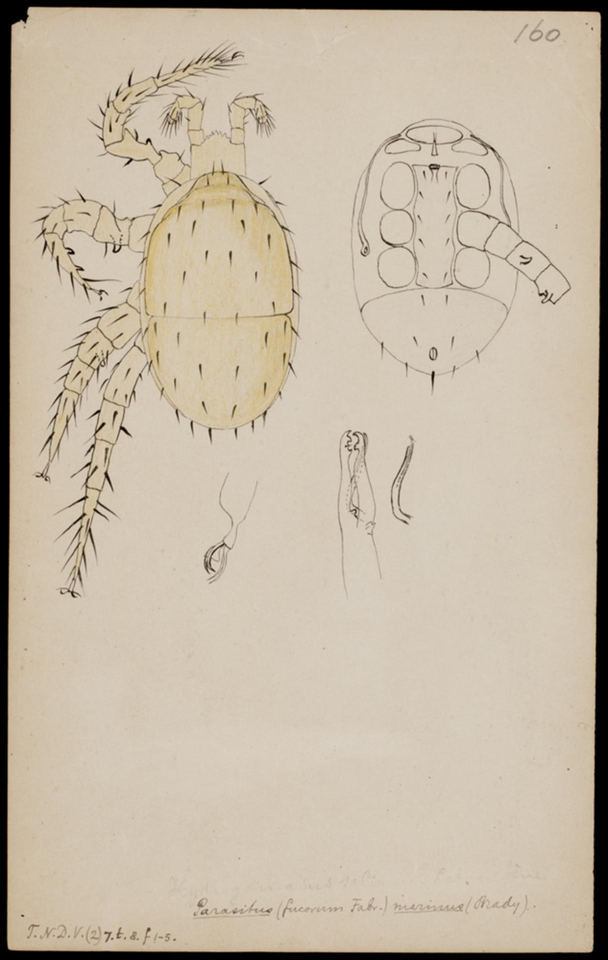 RMNH.ART.1023 | Parasitus marinus (Brady)