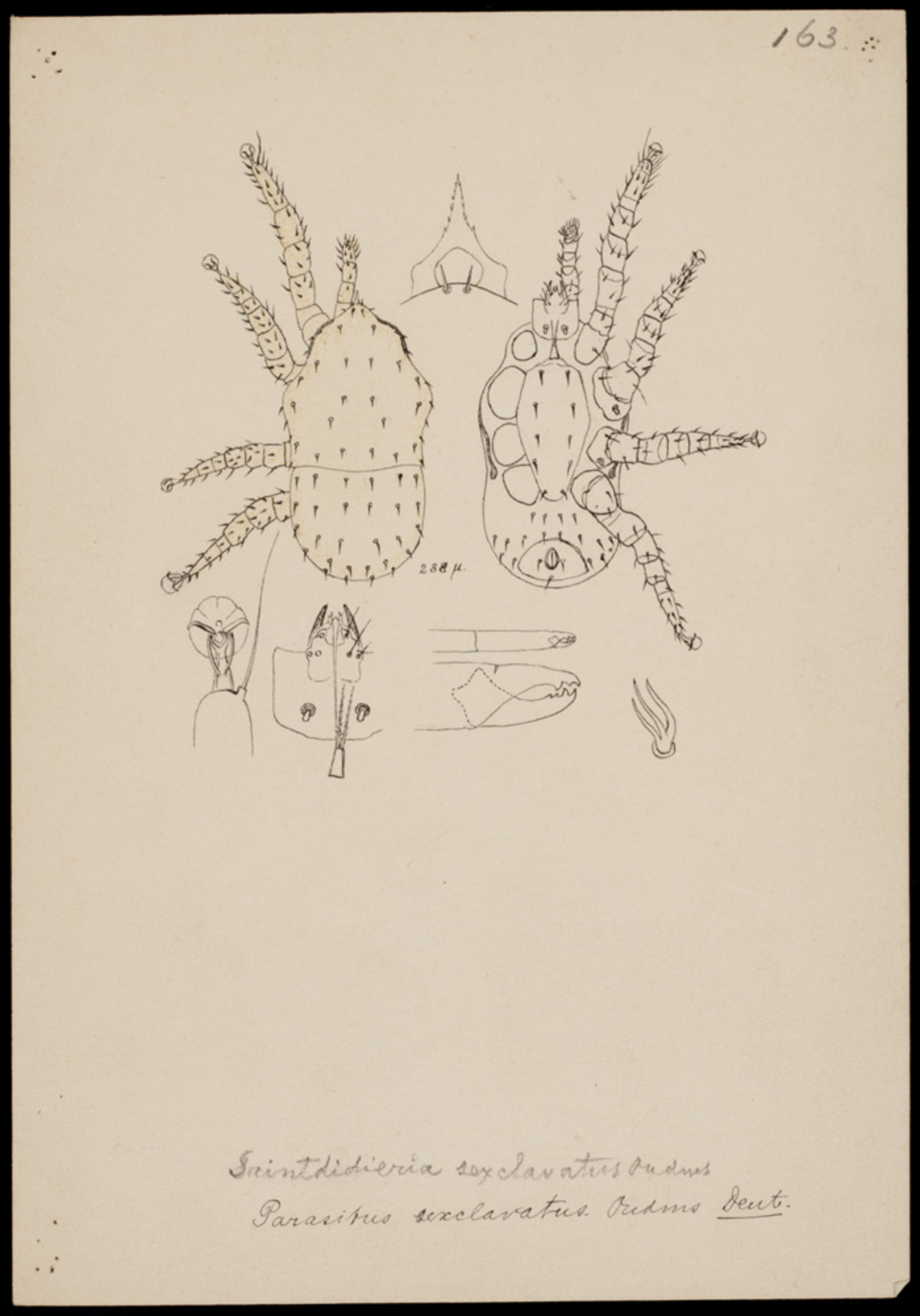 RMNH.ART.1024   Parasitus sexclavatus (Oudmans)