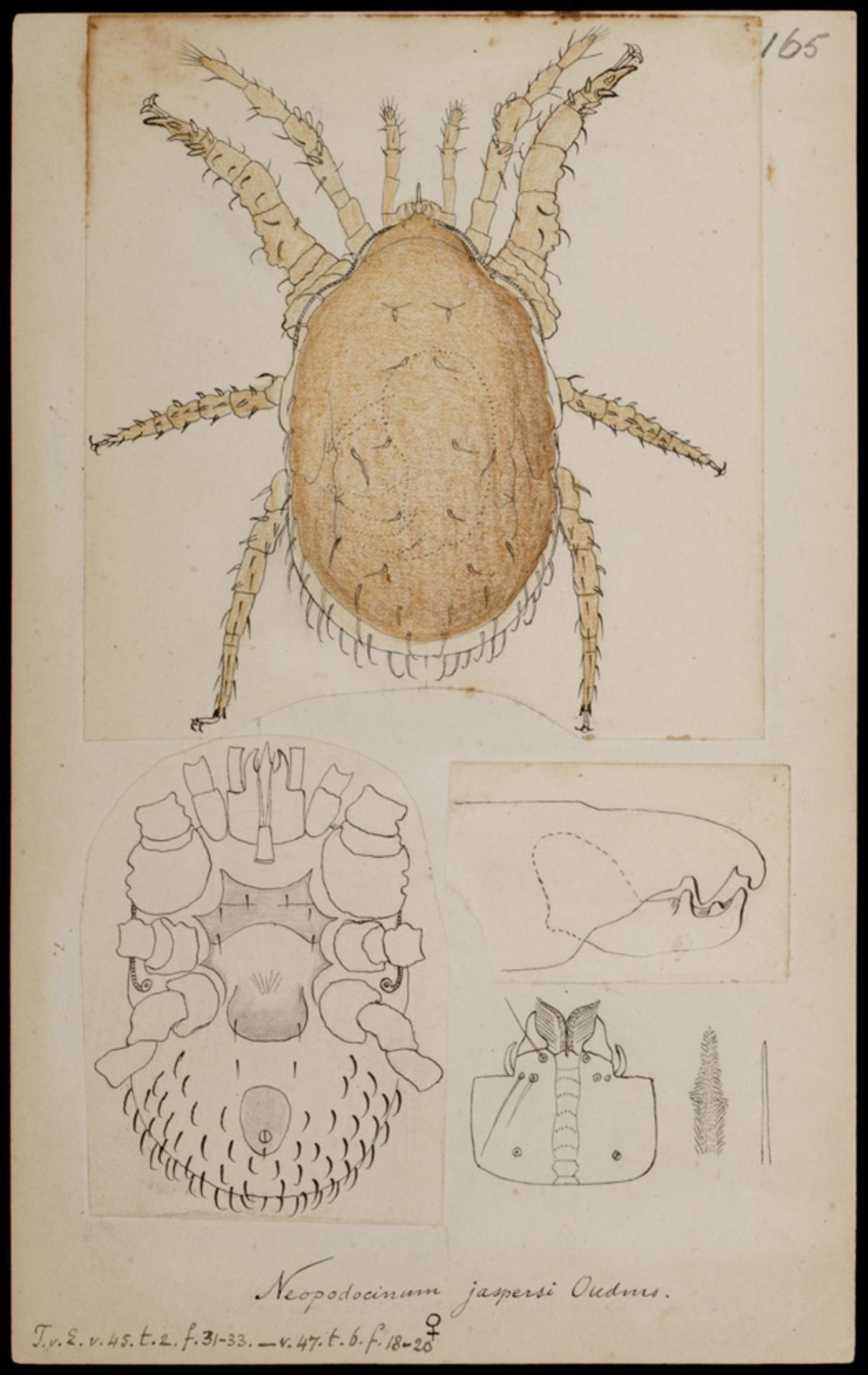 RMNH.ART.1025 | Neopodocinum jaspersi (Oudmans)