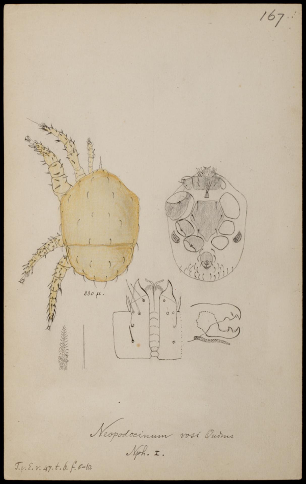 RMNH.ART.1027 | Neopodocinum vosi (Oudmans)