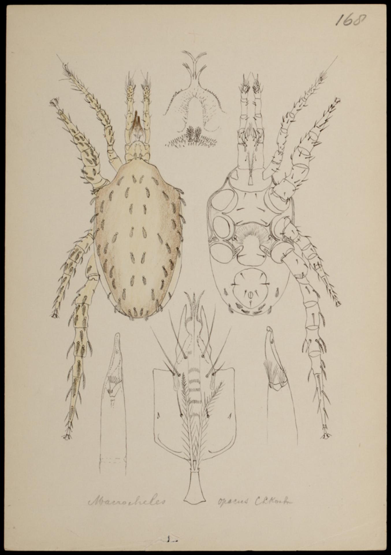 RMNH.ART.1028   Macrocheles opacus (C.L. Koch)