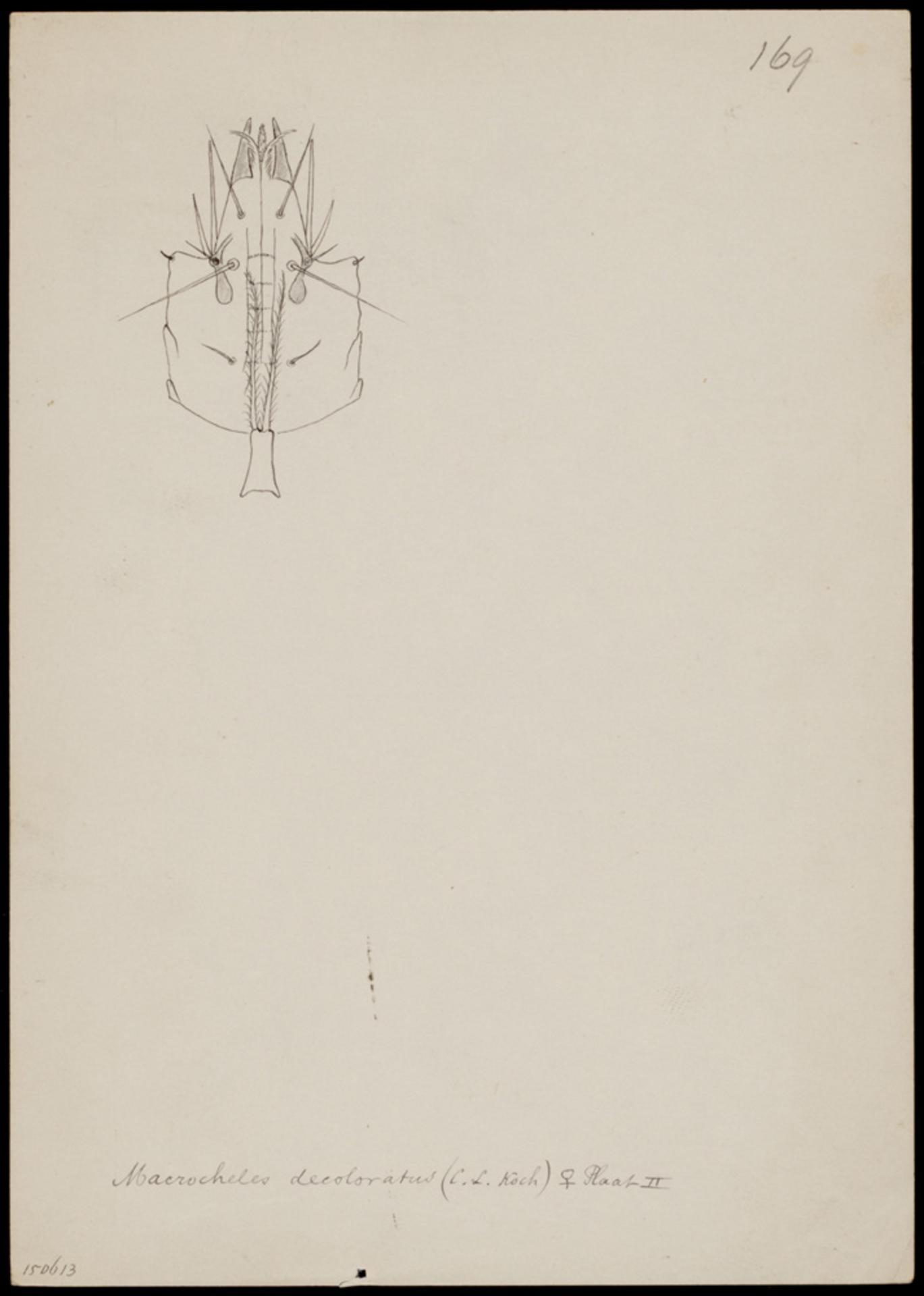 RMNH.ART.1029   Macrocheles decoloratus (C. L. Koch)