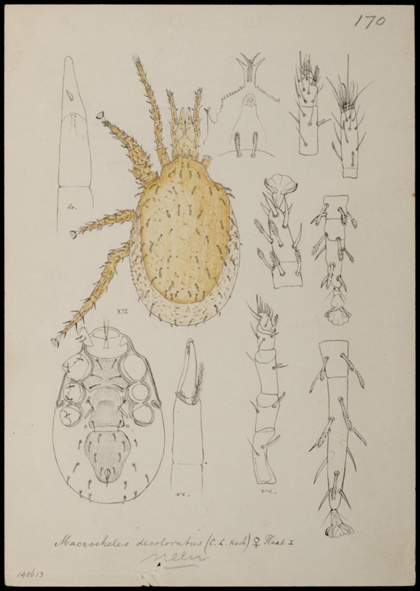 RMNH.ART.1030   Macrocheles decoloratus (C. L. Koch)