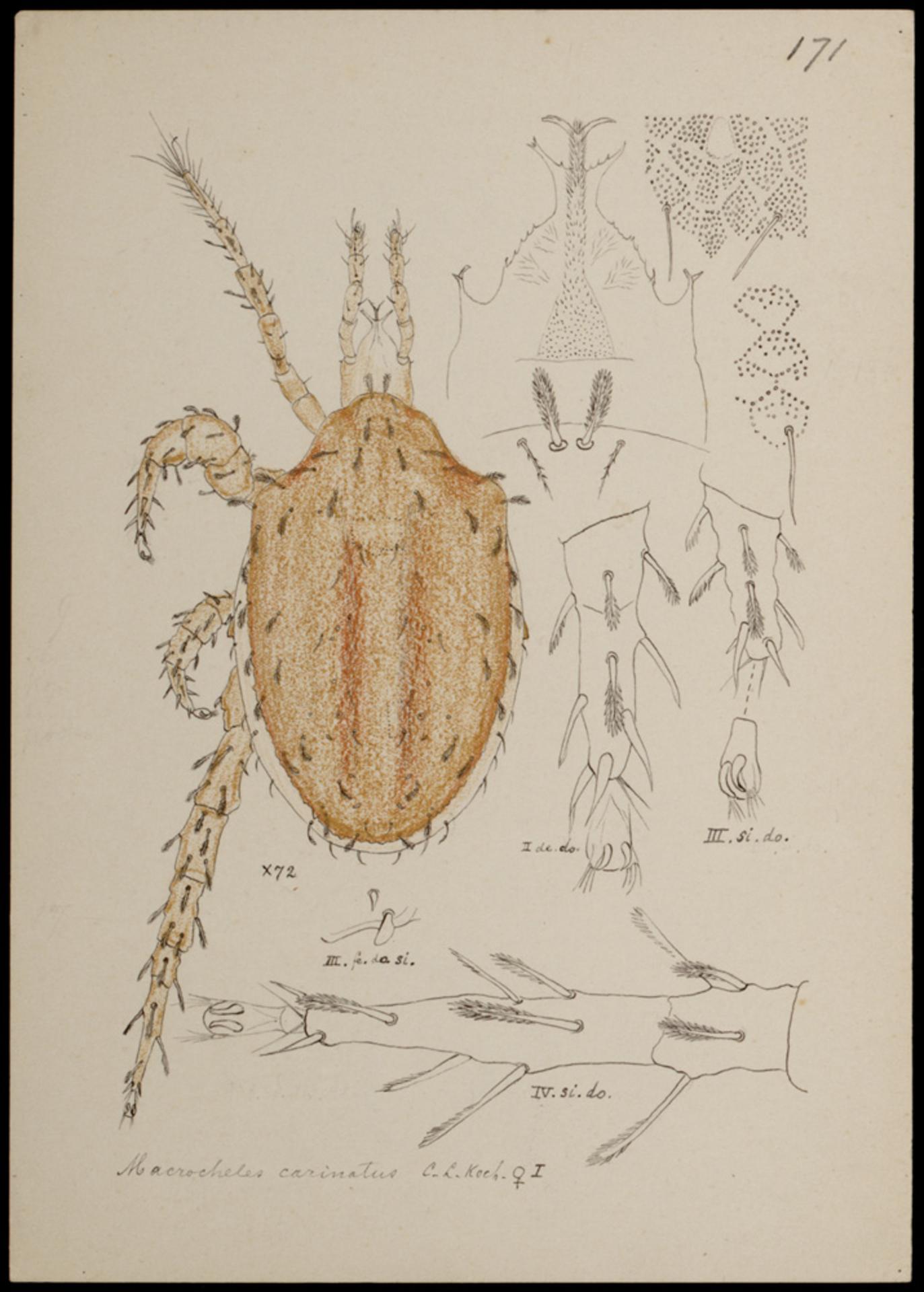 RMNH.ART.1031 | Macrocheles carinatus (C. L. Koch)