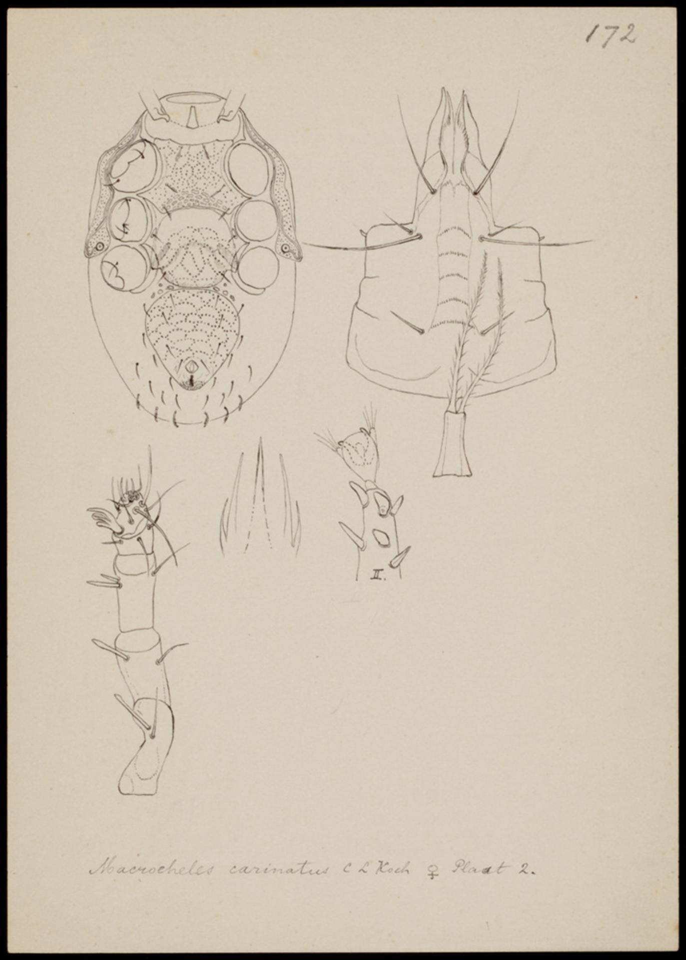 RMNH.ART.1032 | Macrocheles carinatus (C. L. Koch)