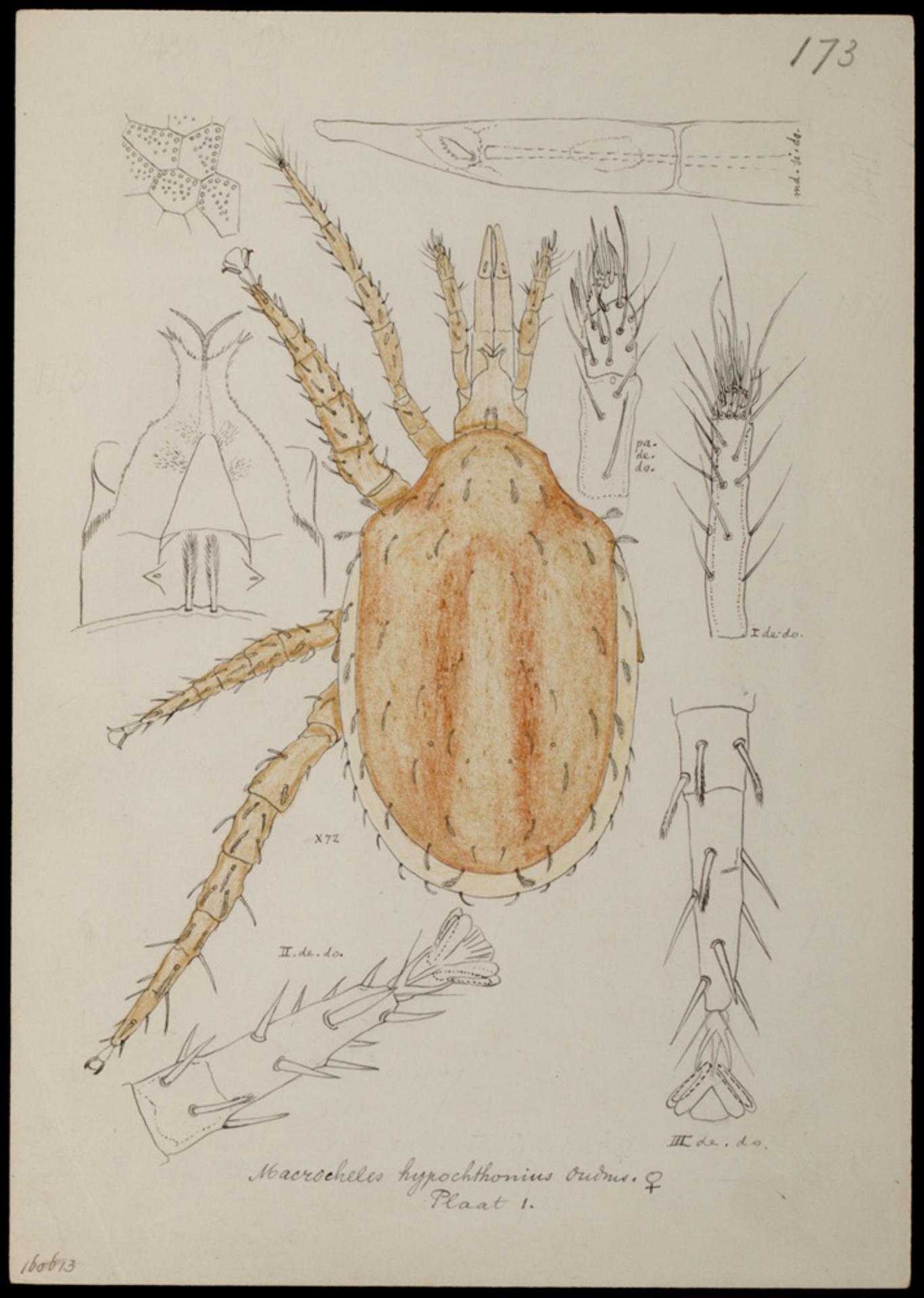 RMNH.ART.1033 | Macrocheles hypochthonius (Oudmans)
