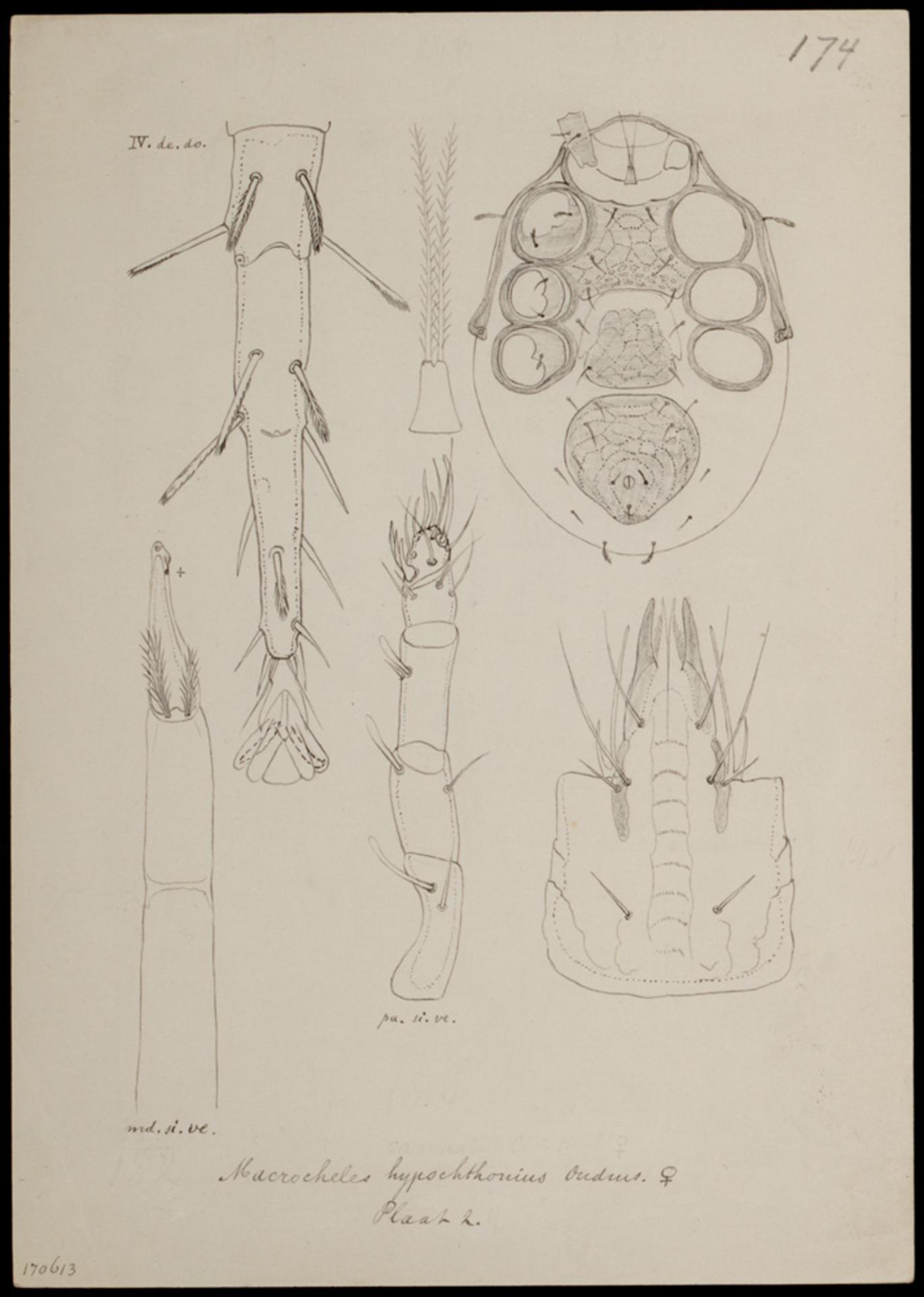 RMNH.ART.1034 | Macrocheles hypochthonius (Oudmans)