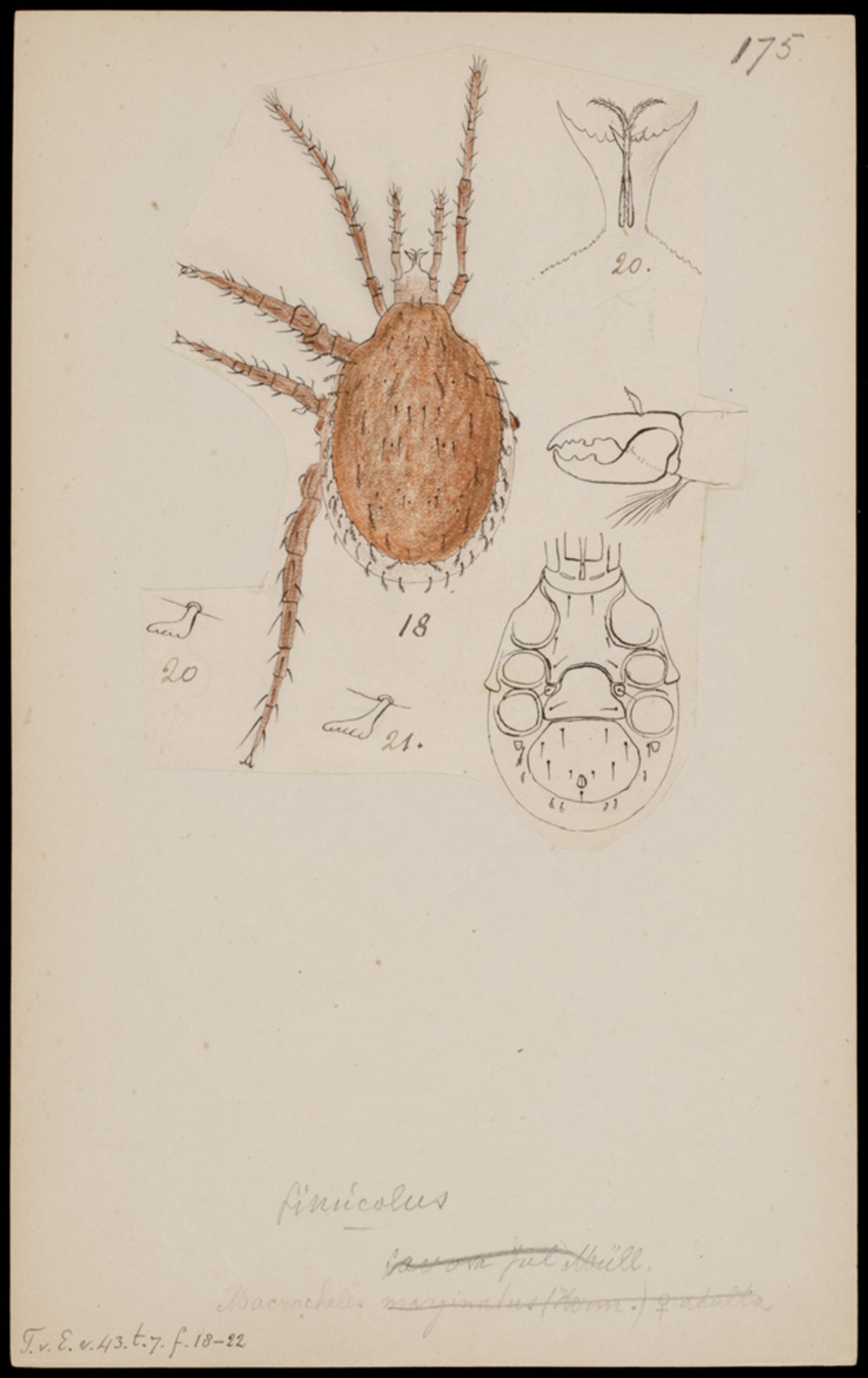 RMNH.ART.1035 | Macrocheles (spec.)
