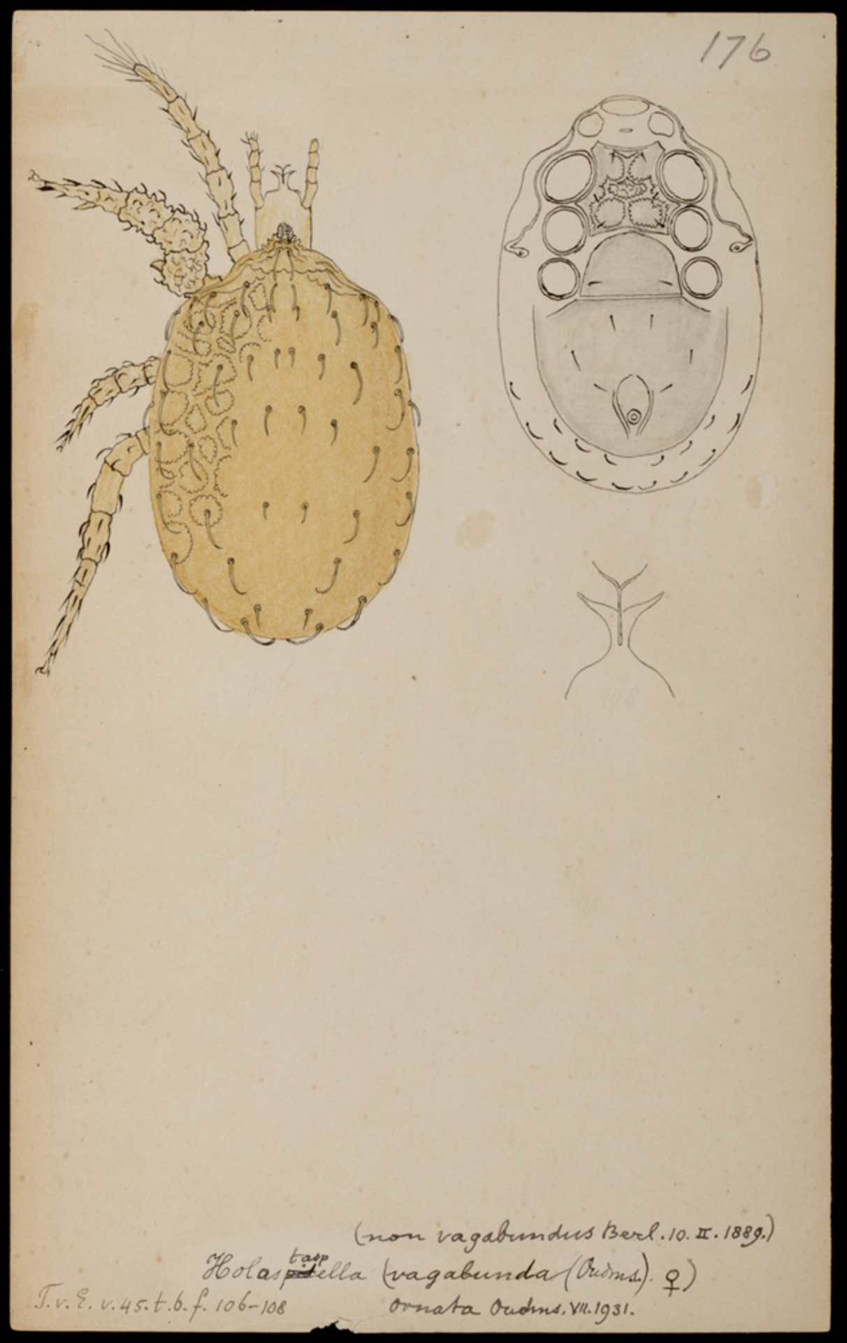 RMNH.ART.1036   Holastaspella (spec.)