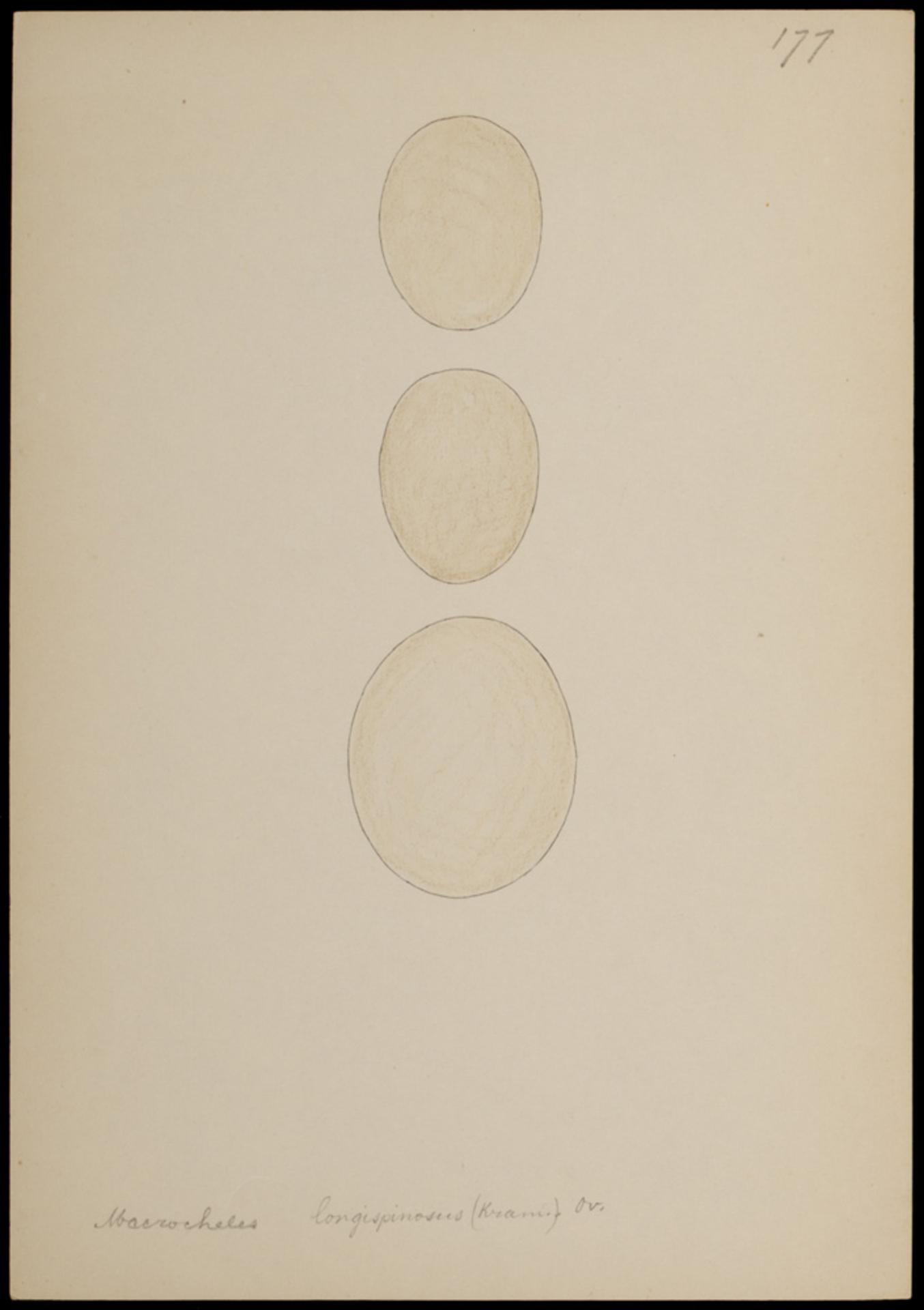 RMNH.ART.1037 | Macrocheles longispinosum (Kram.)