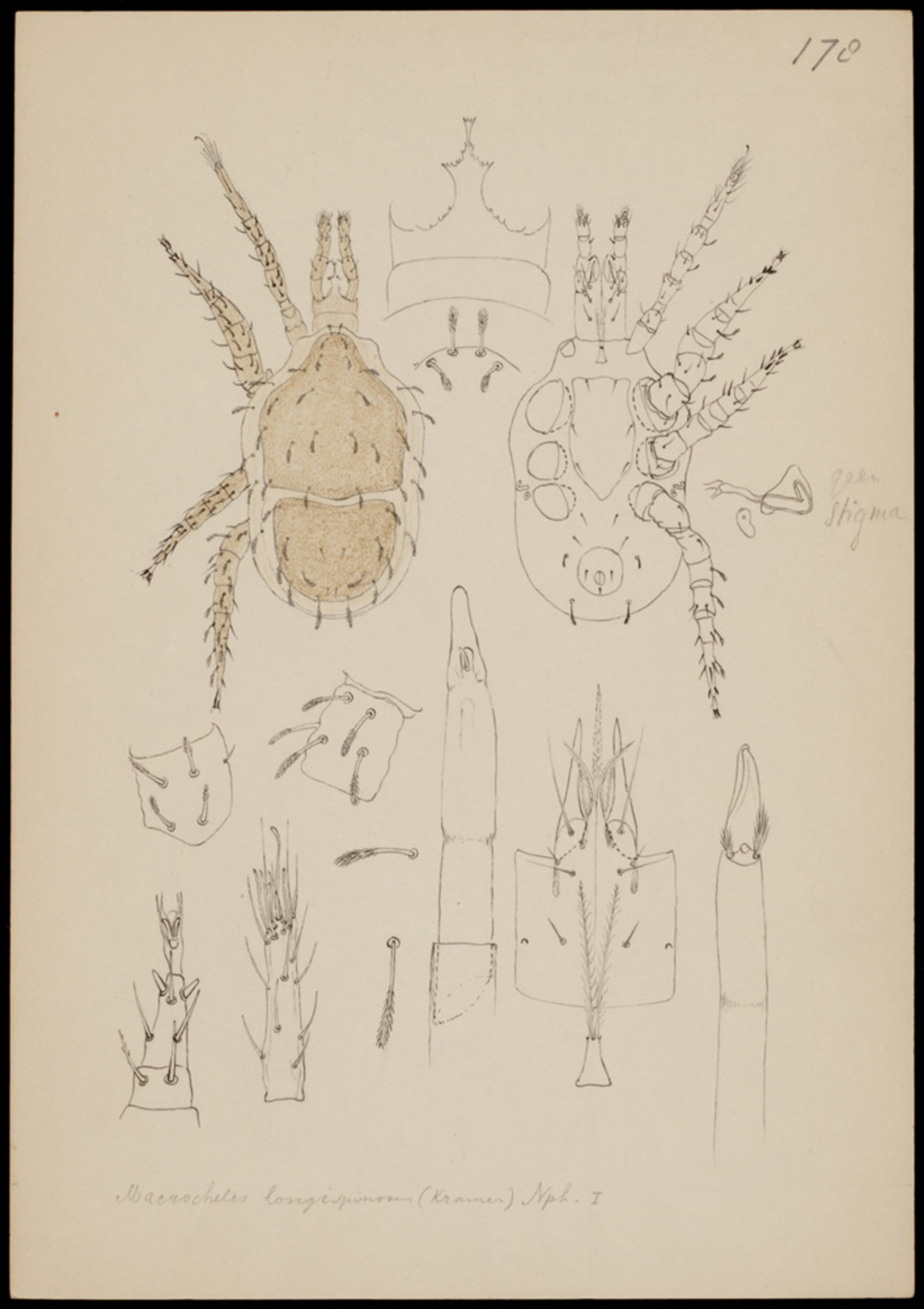 RMNH.ART.1038 | Macrocheles longispinosum (Kram.)