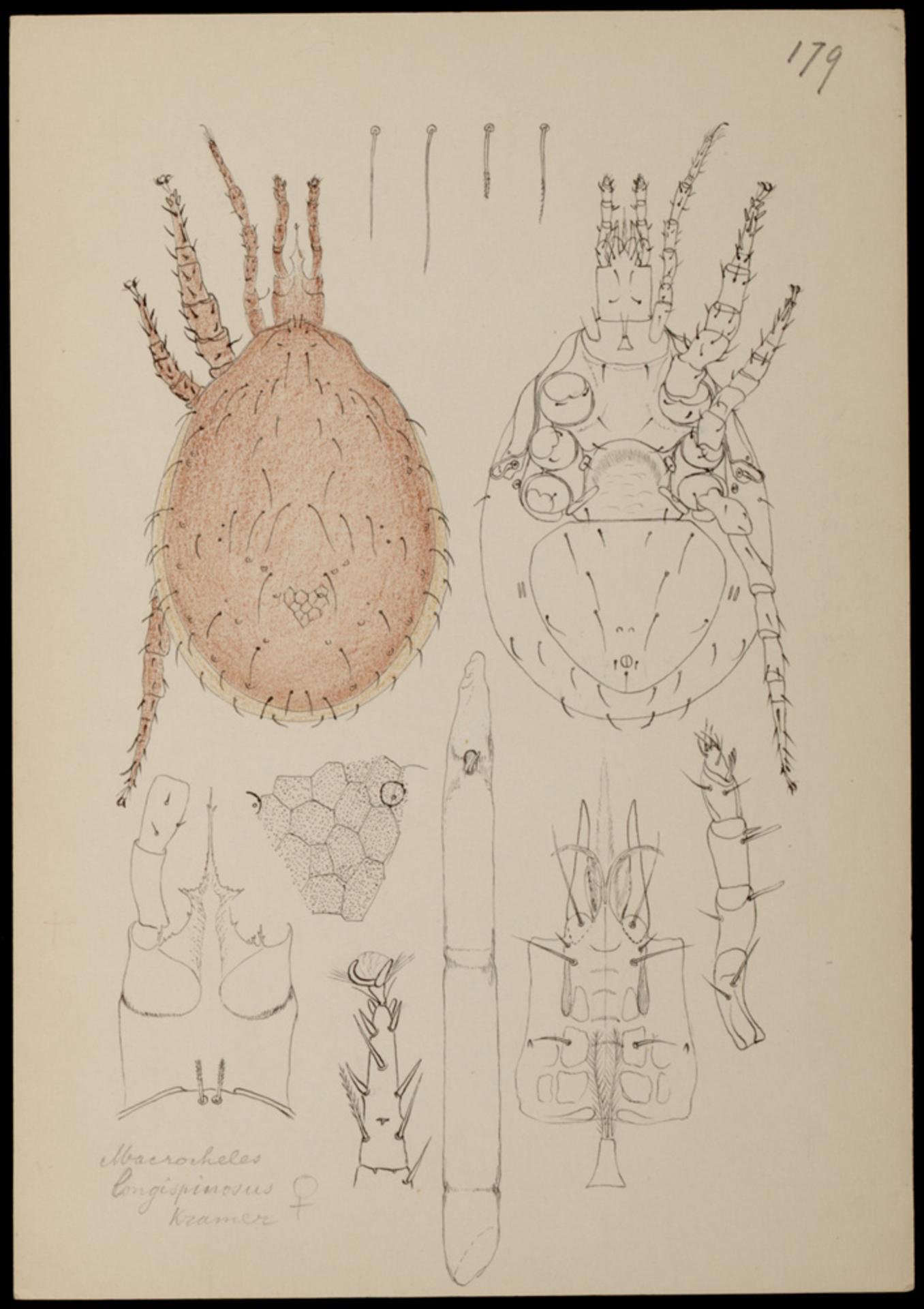 RMNH.ART.1039   Macrocheles longispinosum (Kram.)