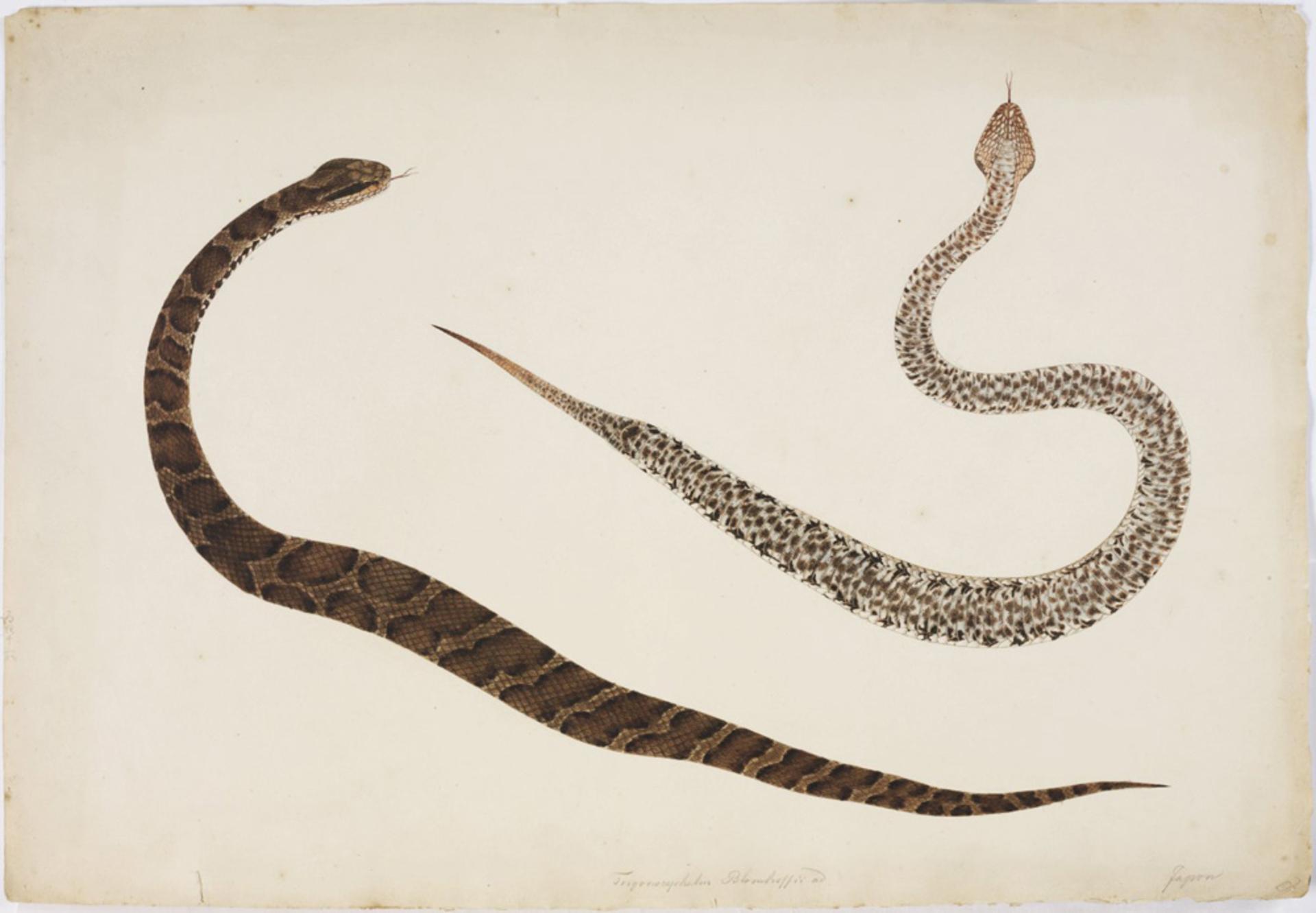 RMNH.ART.104 | Gloydius blomhofii