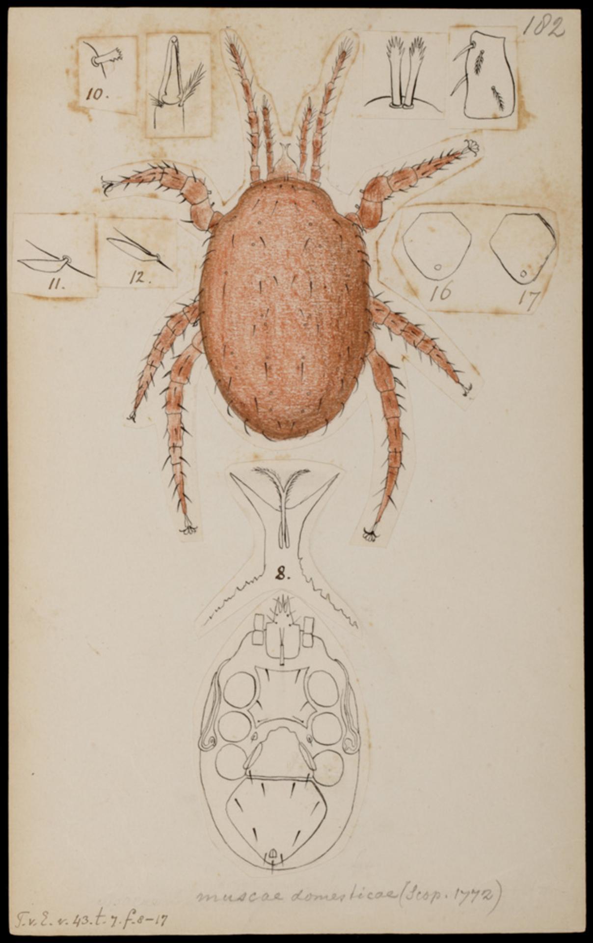RMNH.ART.1042 | Macrocheles muscae domesticae (Scopoli)