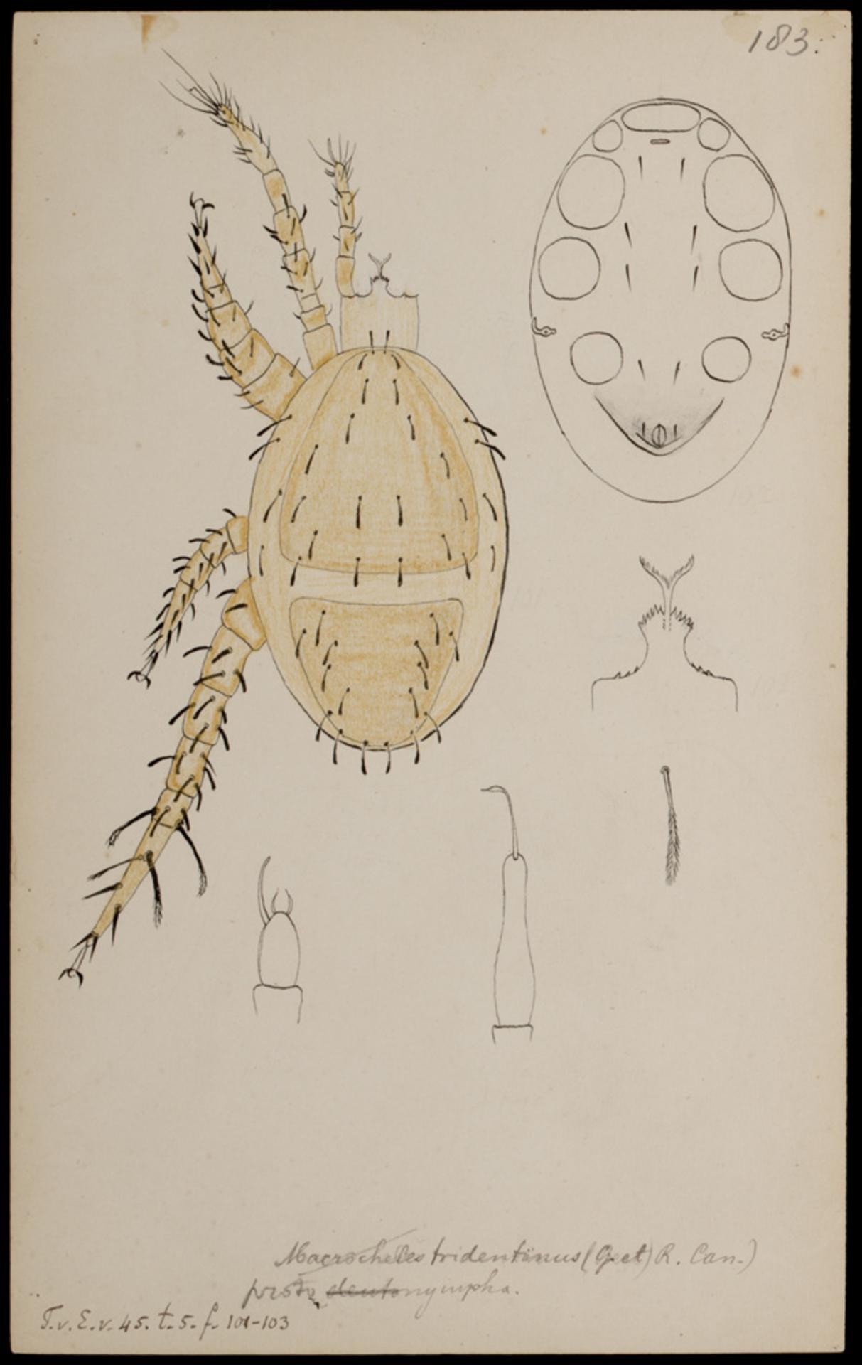 RMNH.ART.1043 | Macrocheles tridentinus (Canestrini & Canestrini)