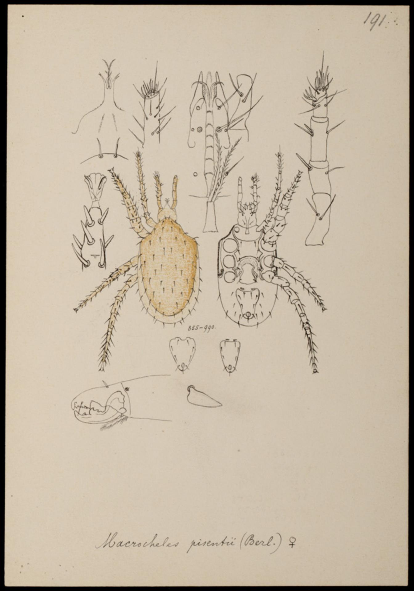 RMNH.ART.1044 | Macrocheles pisentii (Berlese)