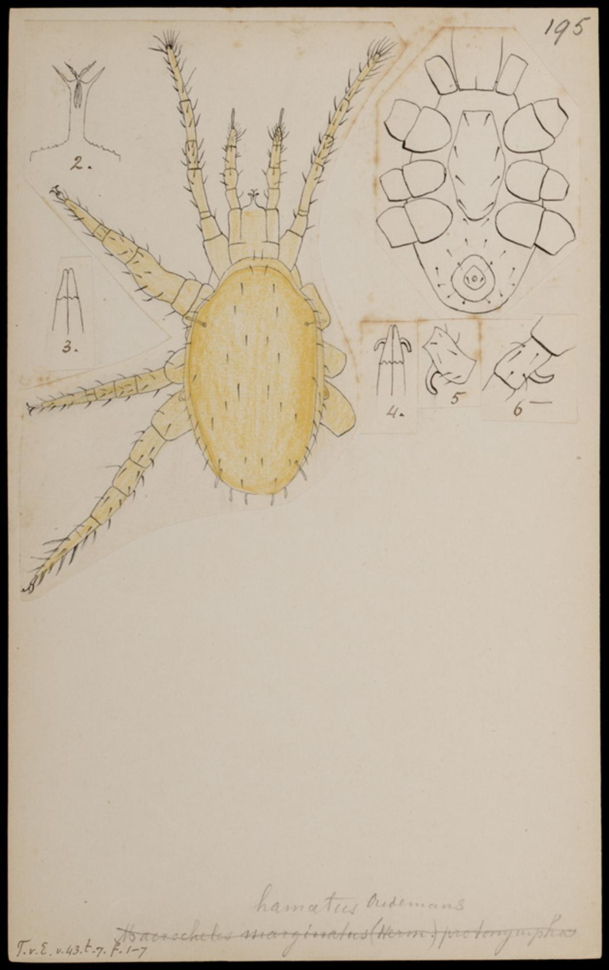 RMNH.ART.1045 | Macrocheles hamatus (Oudemans)