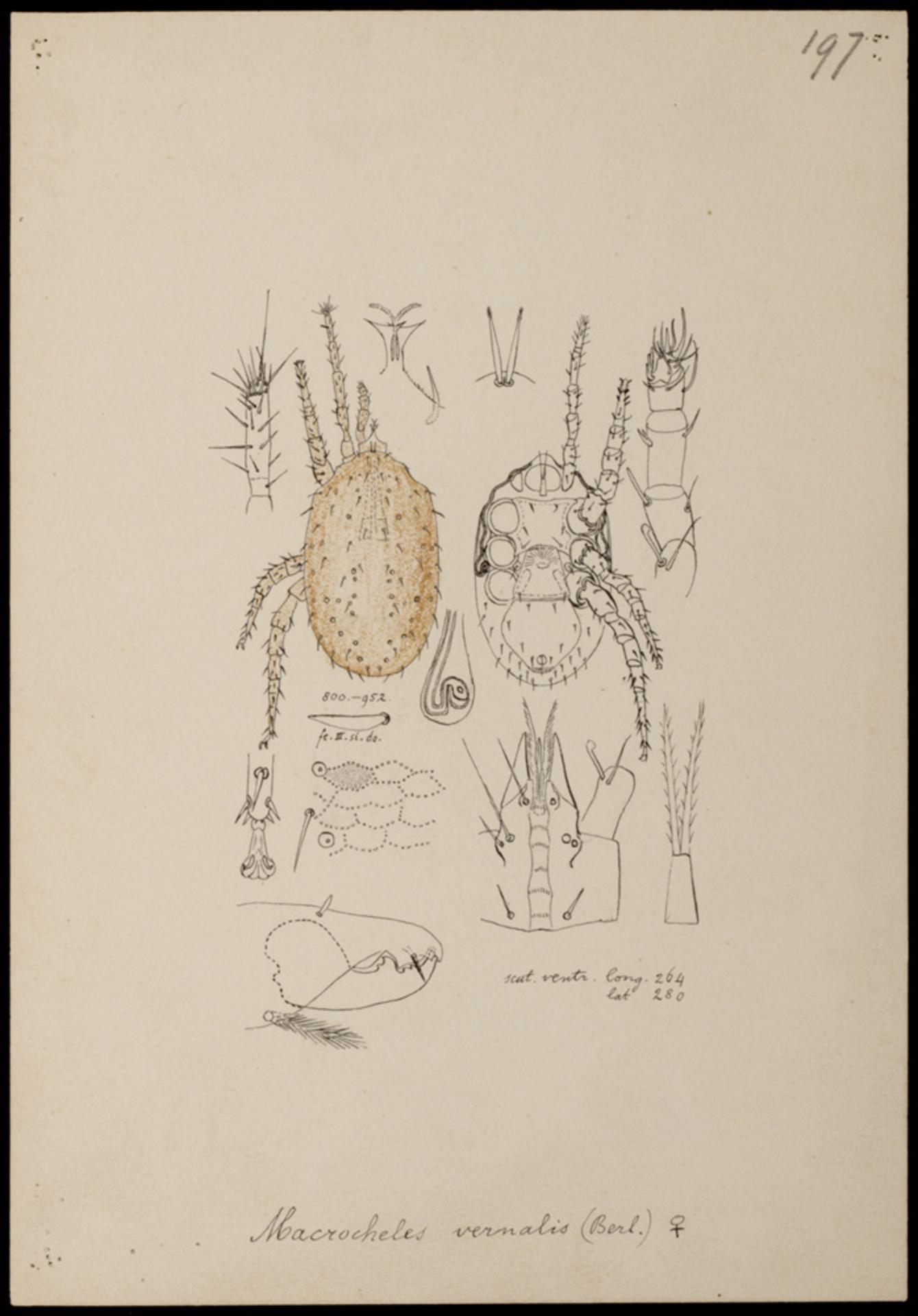 RMNH.ART.1047 | Macrocheles vernalis (Berlese)