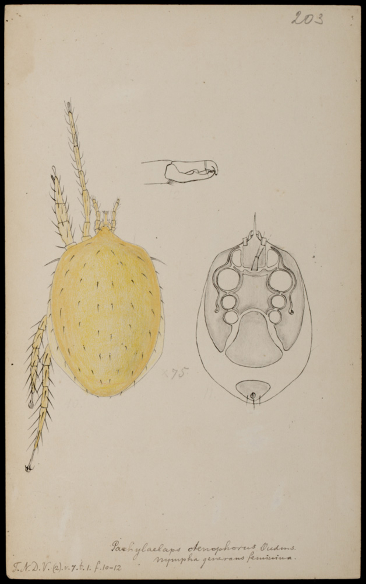RMNH.ART.1049   Pachylaelaps ctenophorus (Oudemans)