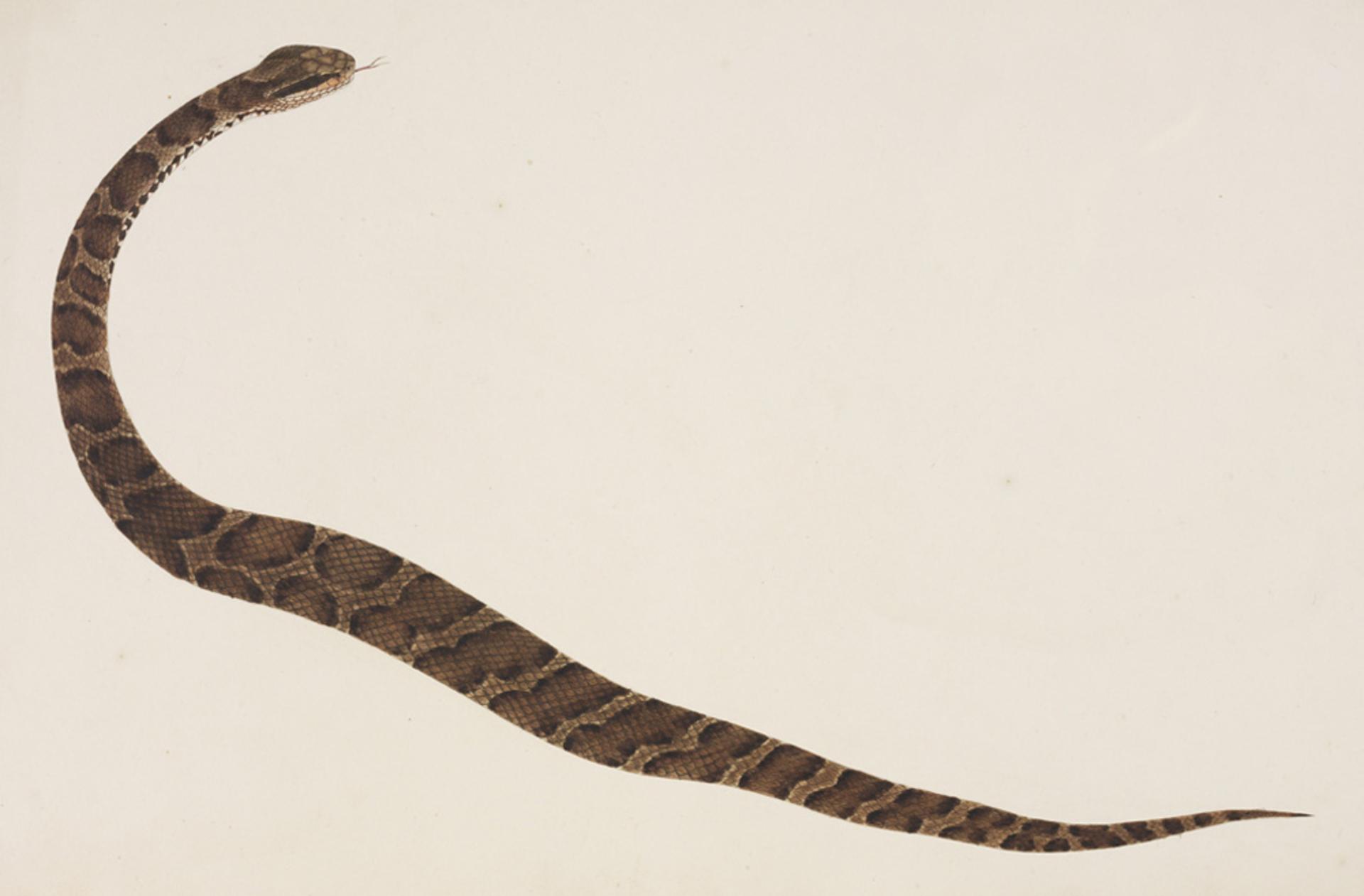 RMNH.ART.105 | Gloydius blomhofii